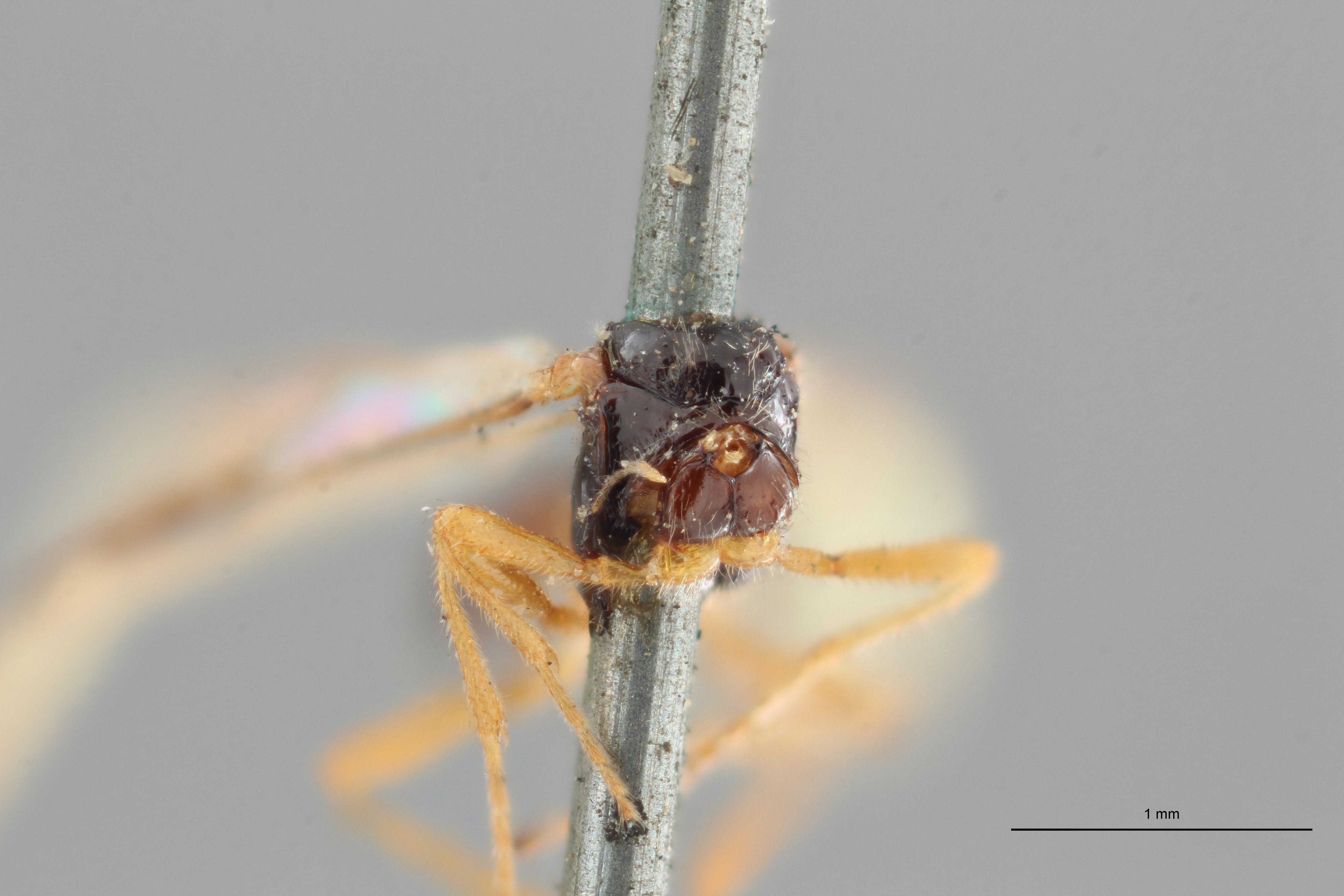 Opius (Apodesmia) ocellatus ht F ZS PMax.jpg