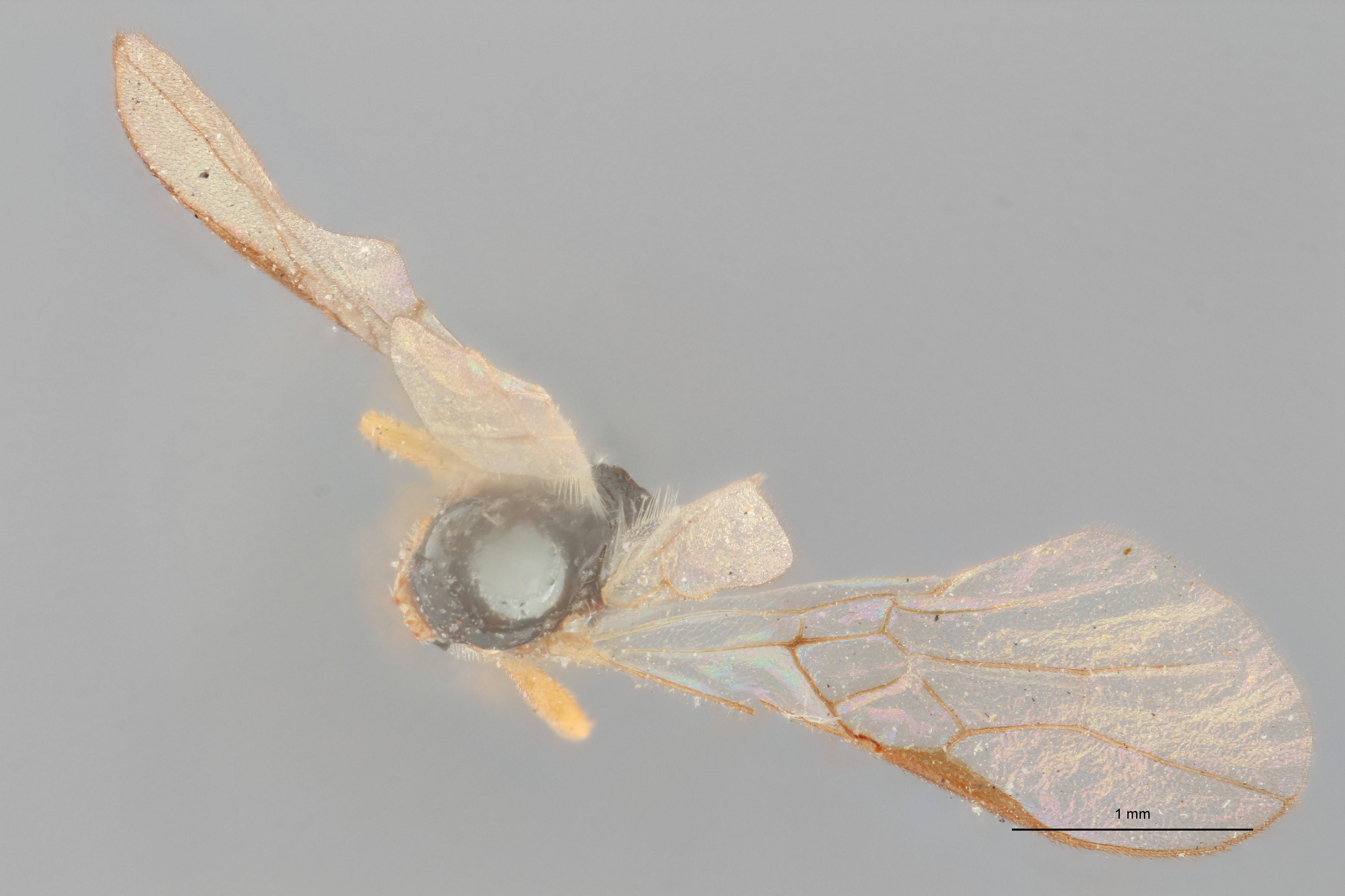 Opius (Apodesmia) polyzonius ht D ZS PMax.jpg