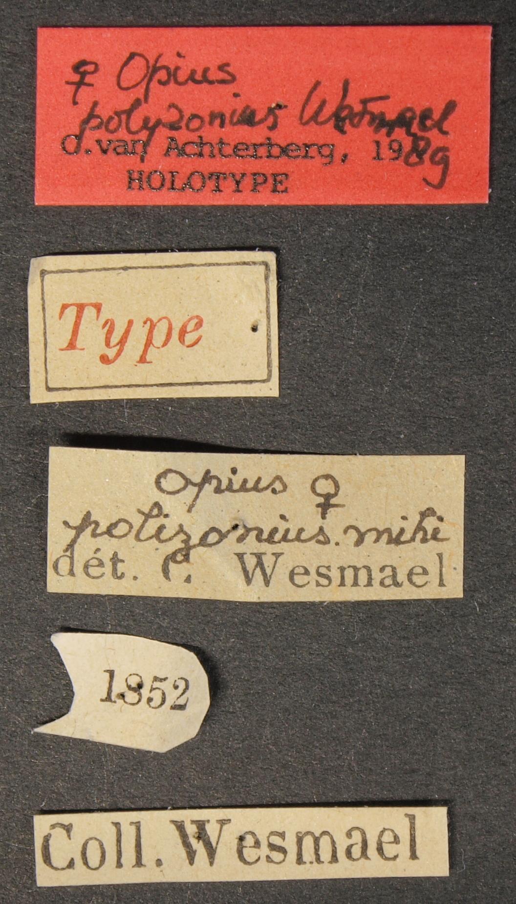 Opius (Apodesmia) polyzonius ht Lb.JPG