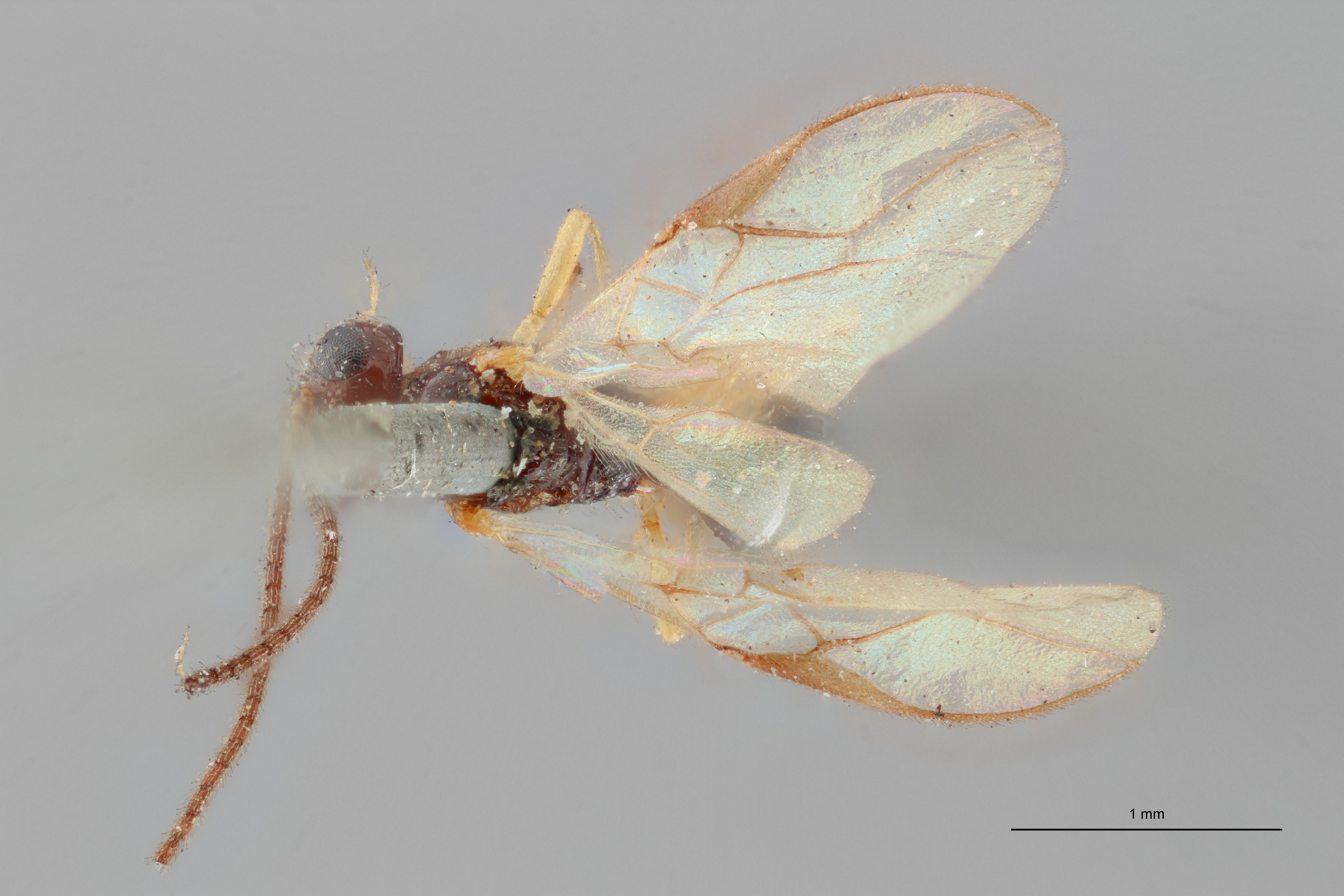 Opius (Apodesmia) reconditor plt D ZS PMax.jpg