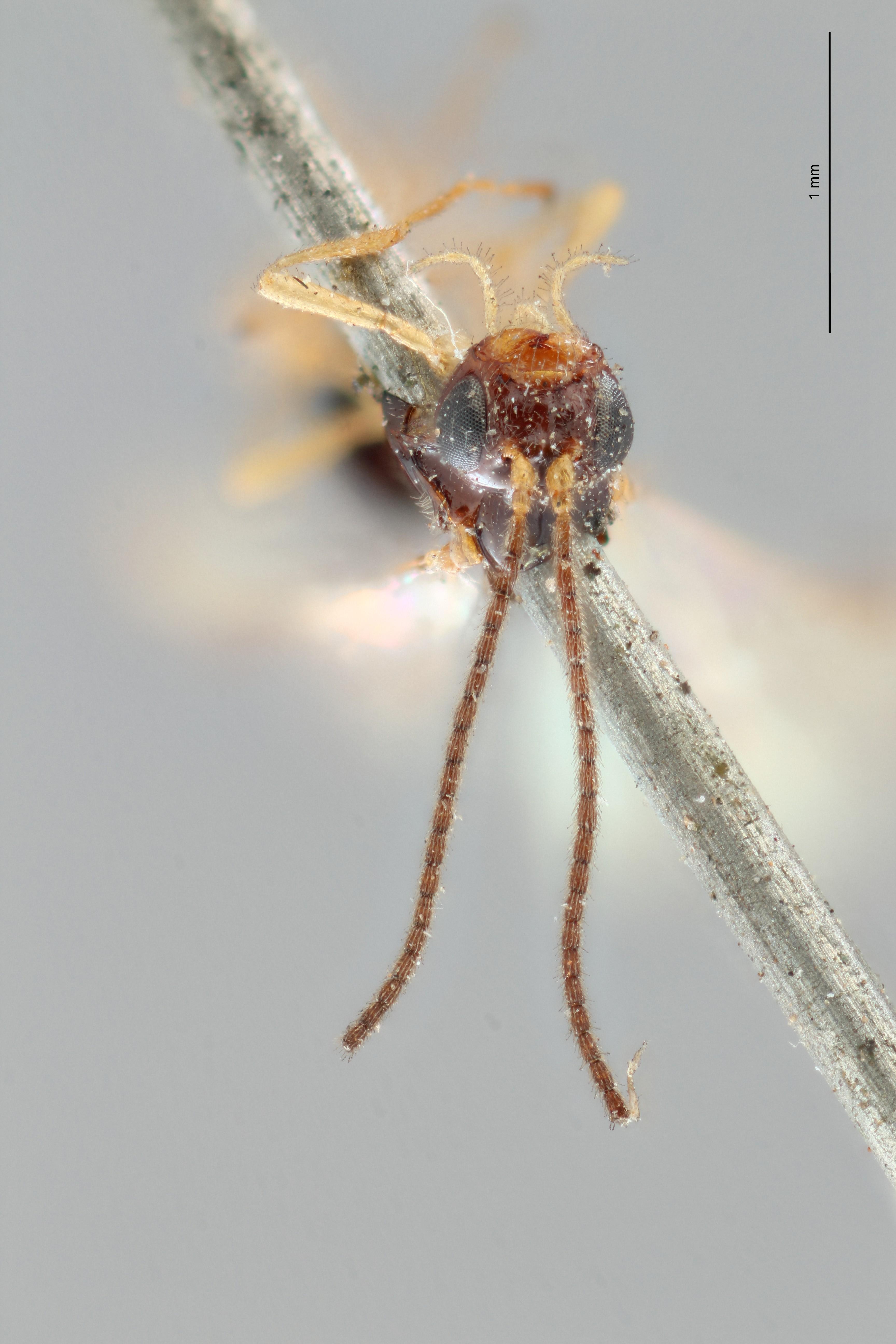 Opius (Apodesmia) reconditor plt F ZS PMax.jpg