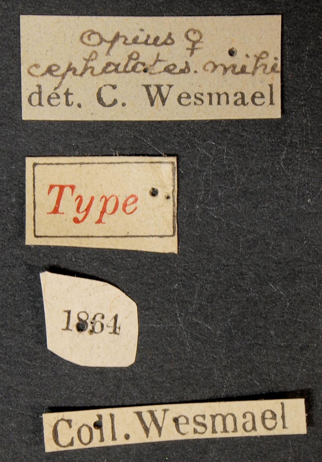 Opius cephalotes typ Lb.JPG