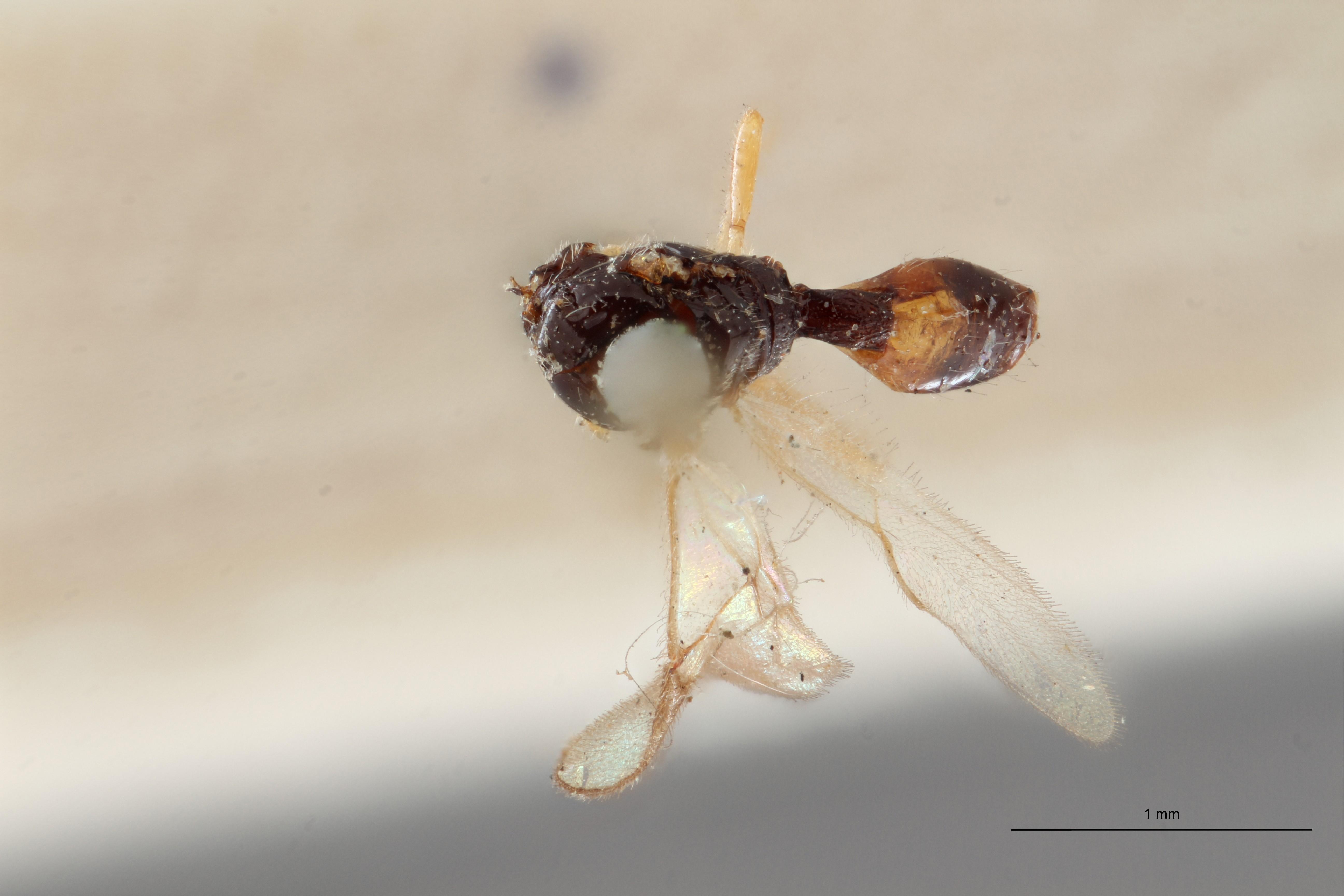Opius cingulatus plt D ZS PMax.jpg