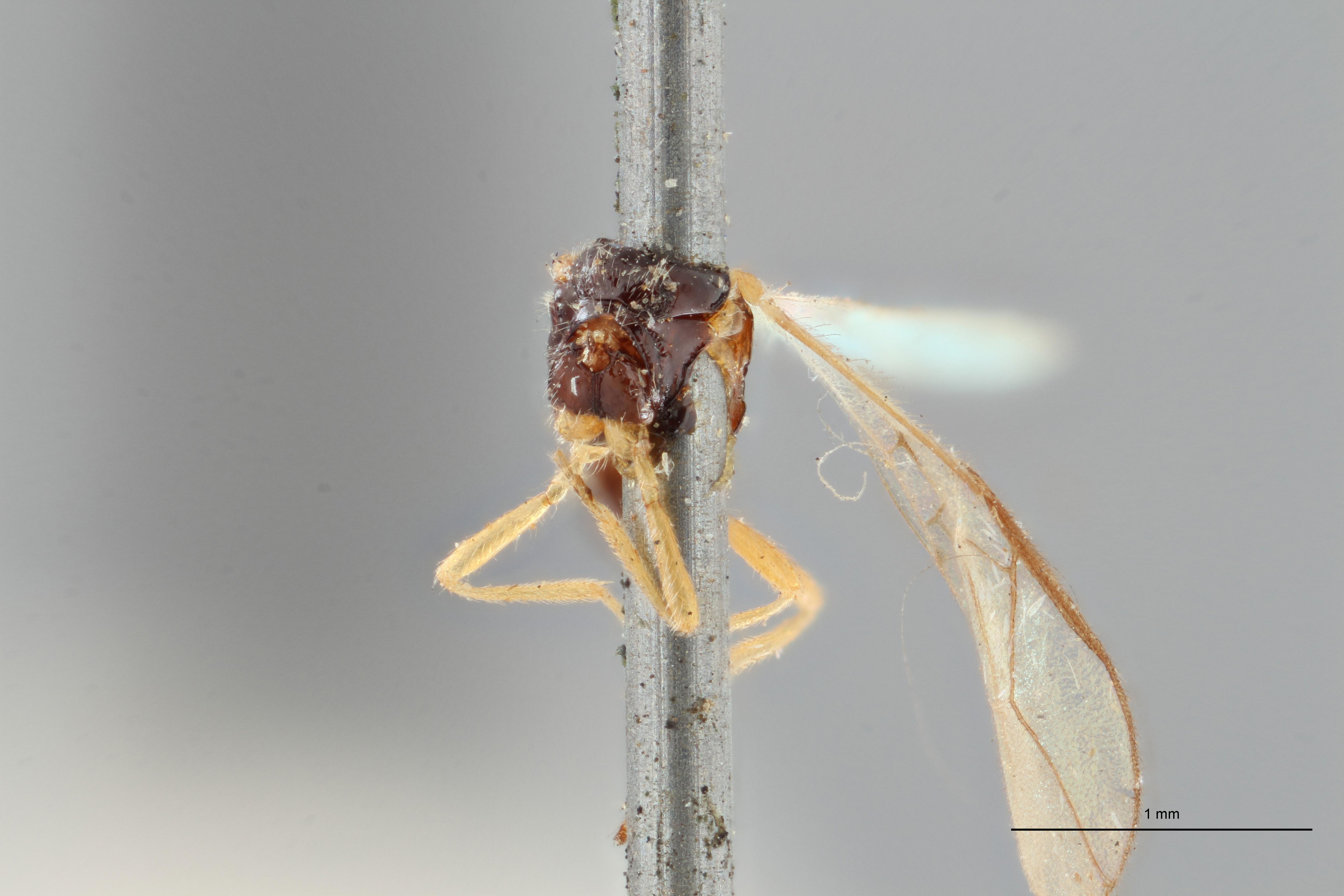 Opius cingulatus plt F ZS PMax.jpg