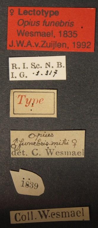 Opius funebris lct Lb.JPG