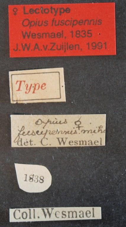 Opius fuscipennis lct Lb.JPG