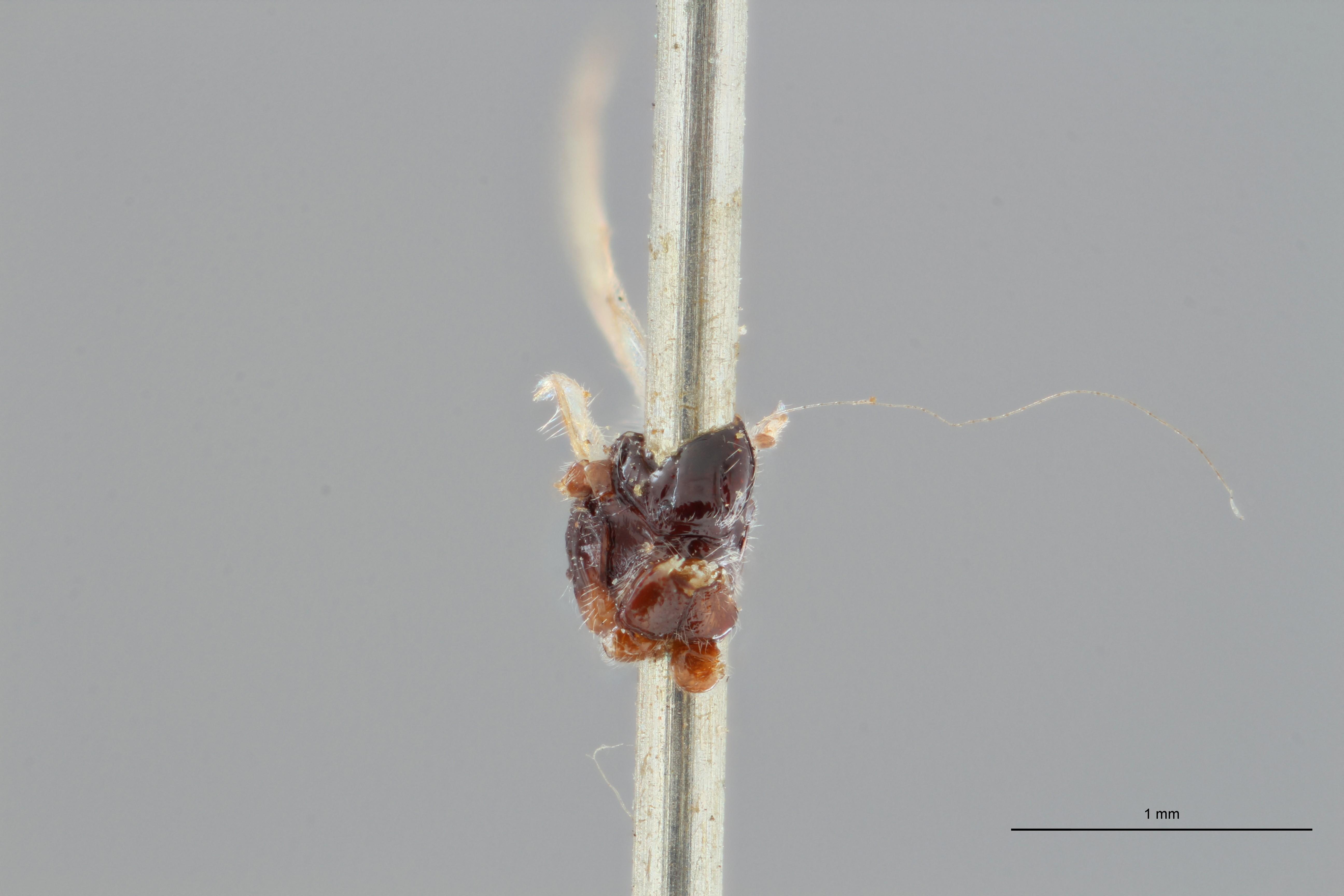 Opius fuscipennis plt F ZS PMax.jpg
