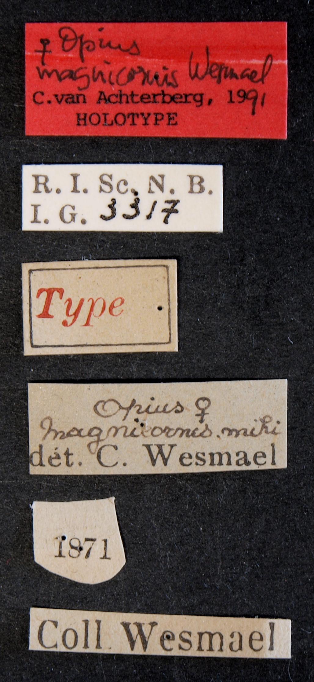 Opius magnicornis ht Lb.JPG
