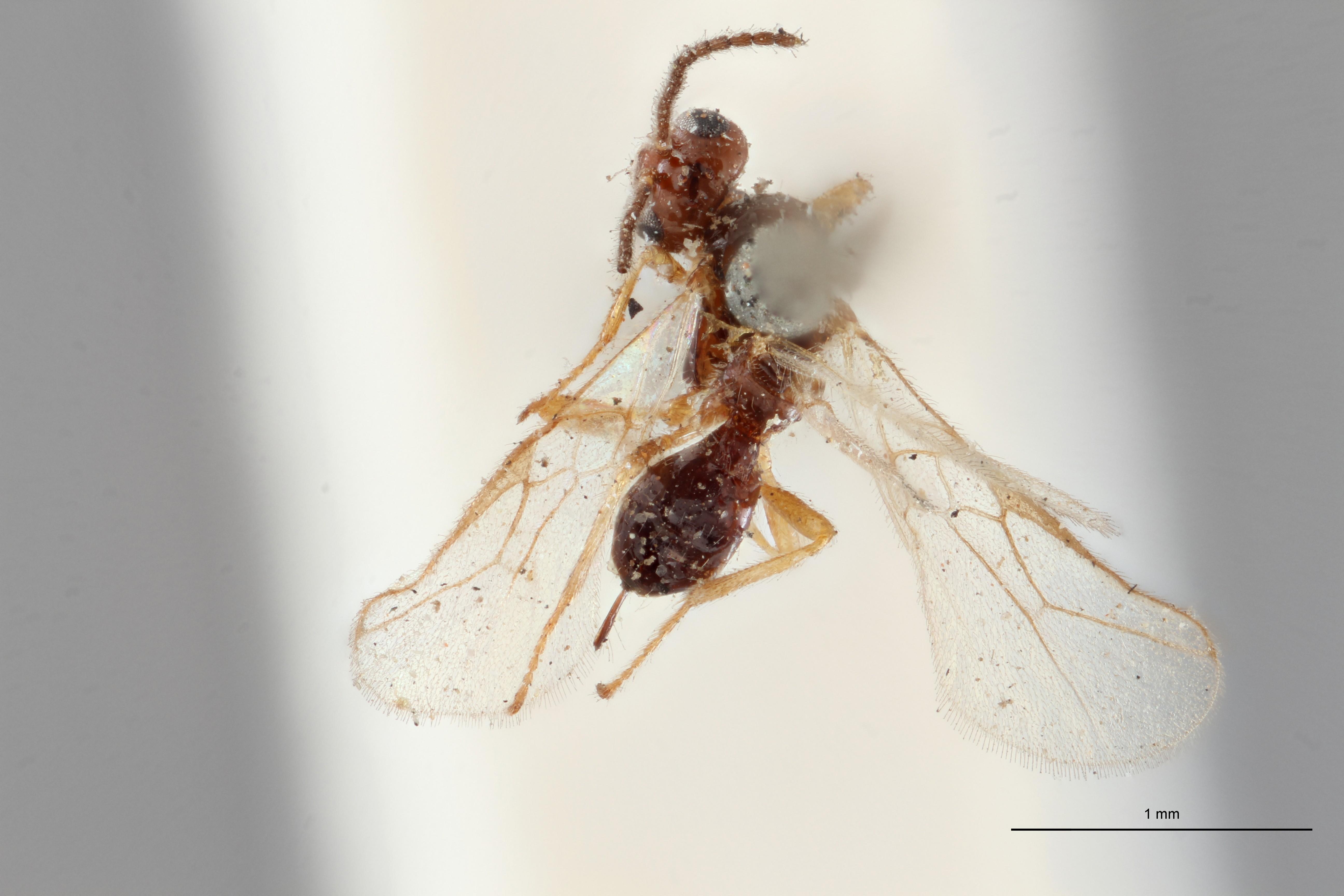 Opius (Misophthora) monticola lct D ZS PMax.jpg