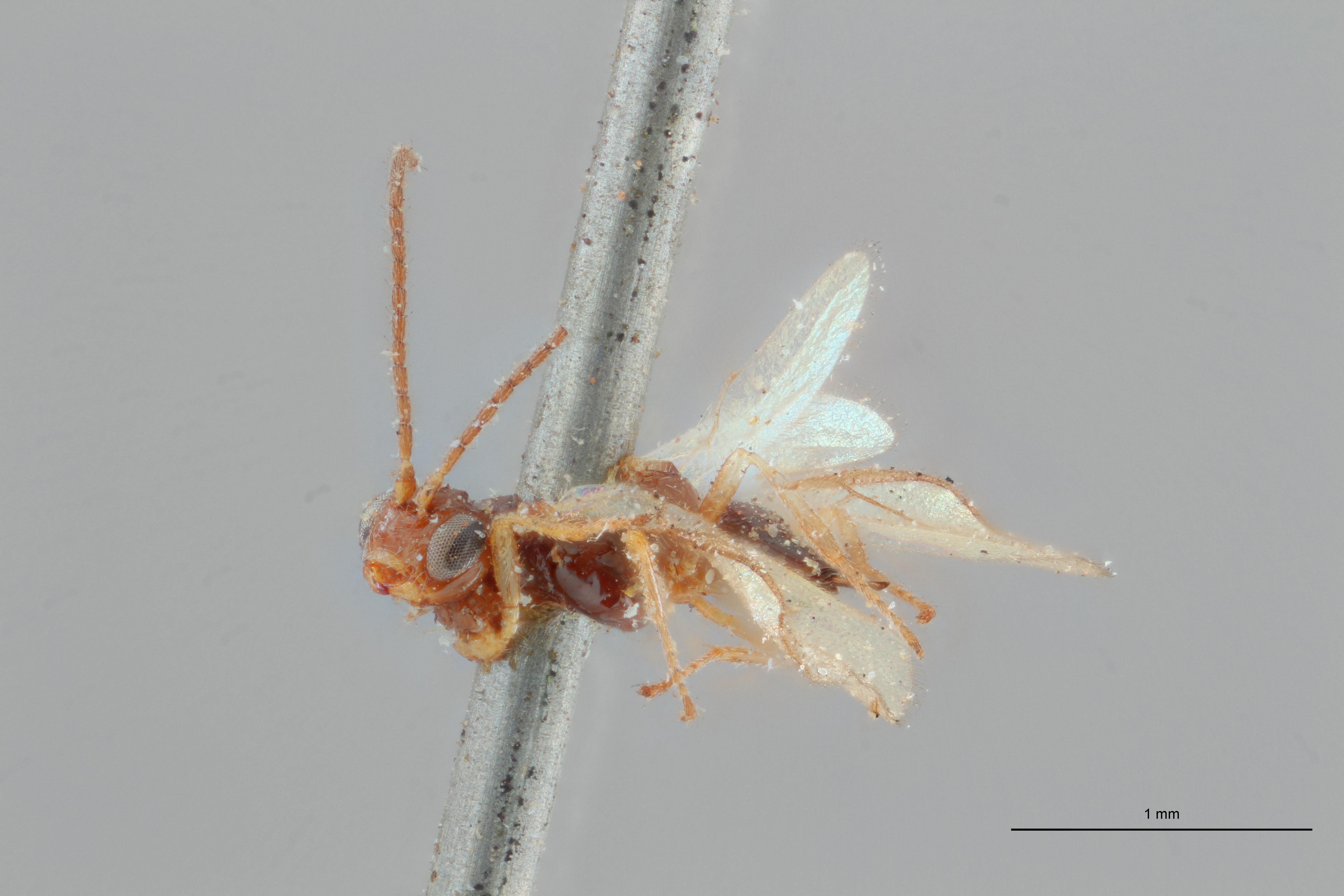 Opius (Misophthora) monticola lct L ZS PMax.jpg