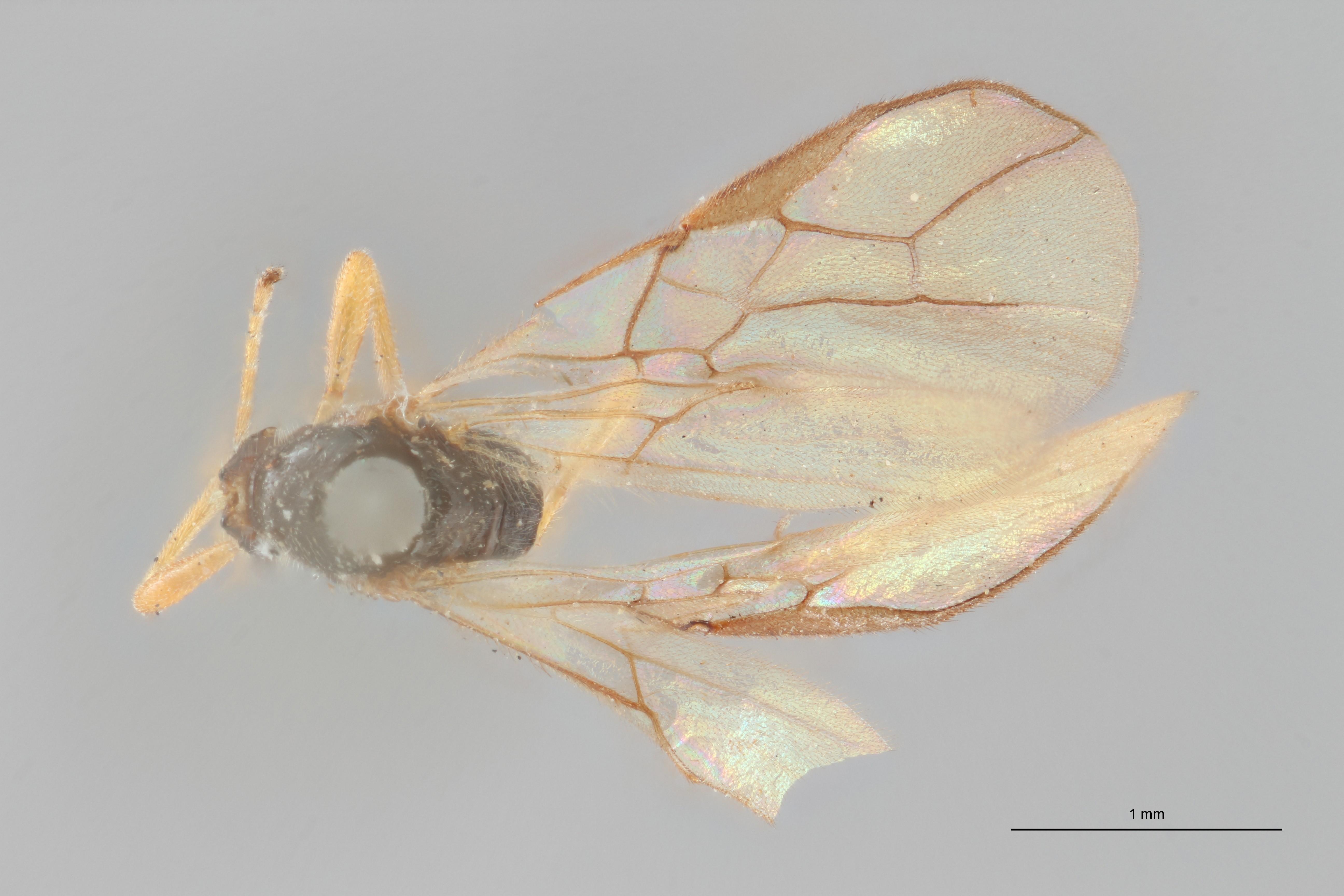 Opius (Nosopoea) maculipes lct D ZS PMax.jpg
