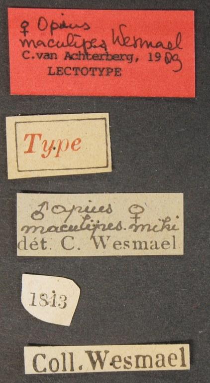 Opius (Nosopoea) maculipes lct Lb.JPG