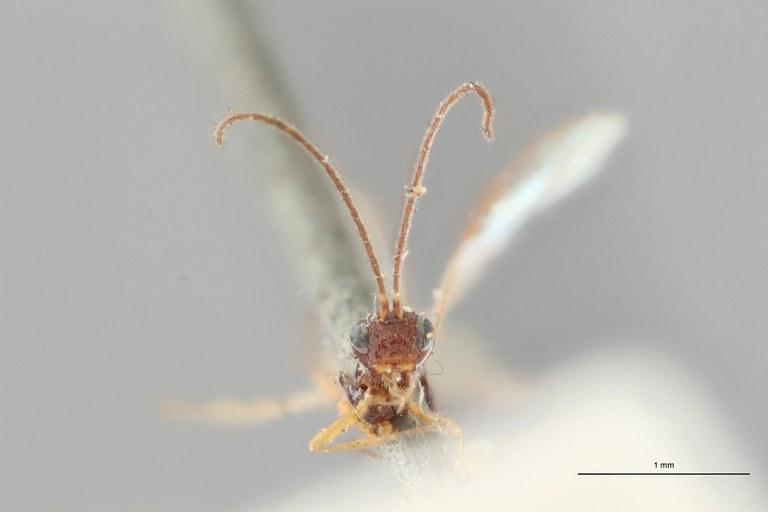 Opius parvulus plt F ZS PMax.jpg