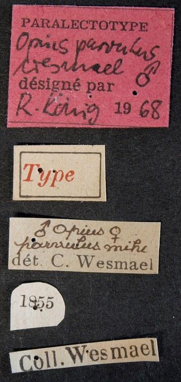 Opius parvulus plt Lb.JPG