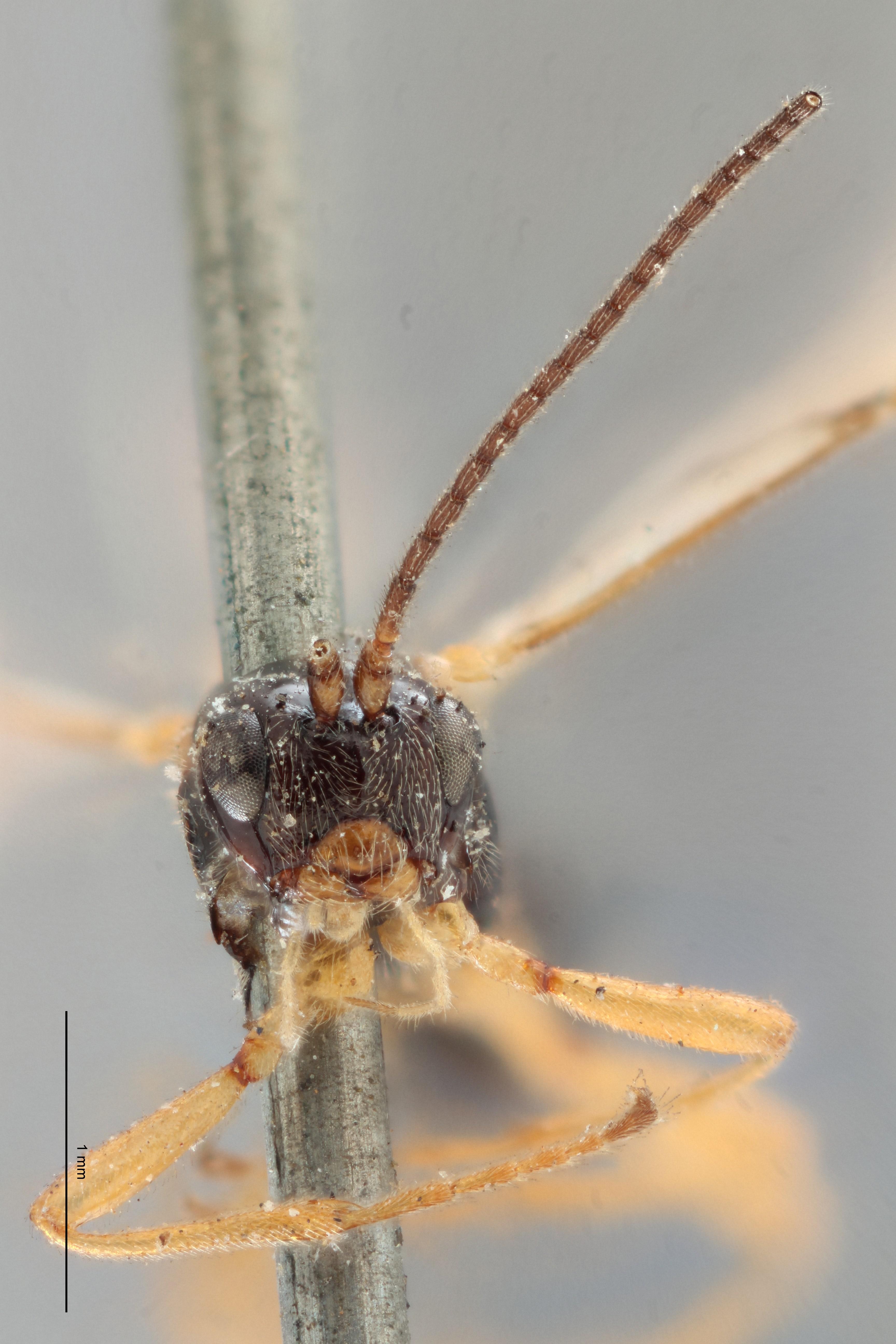 Opius procerus lct F ZS PMax.jpg