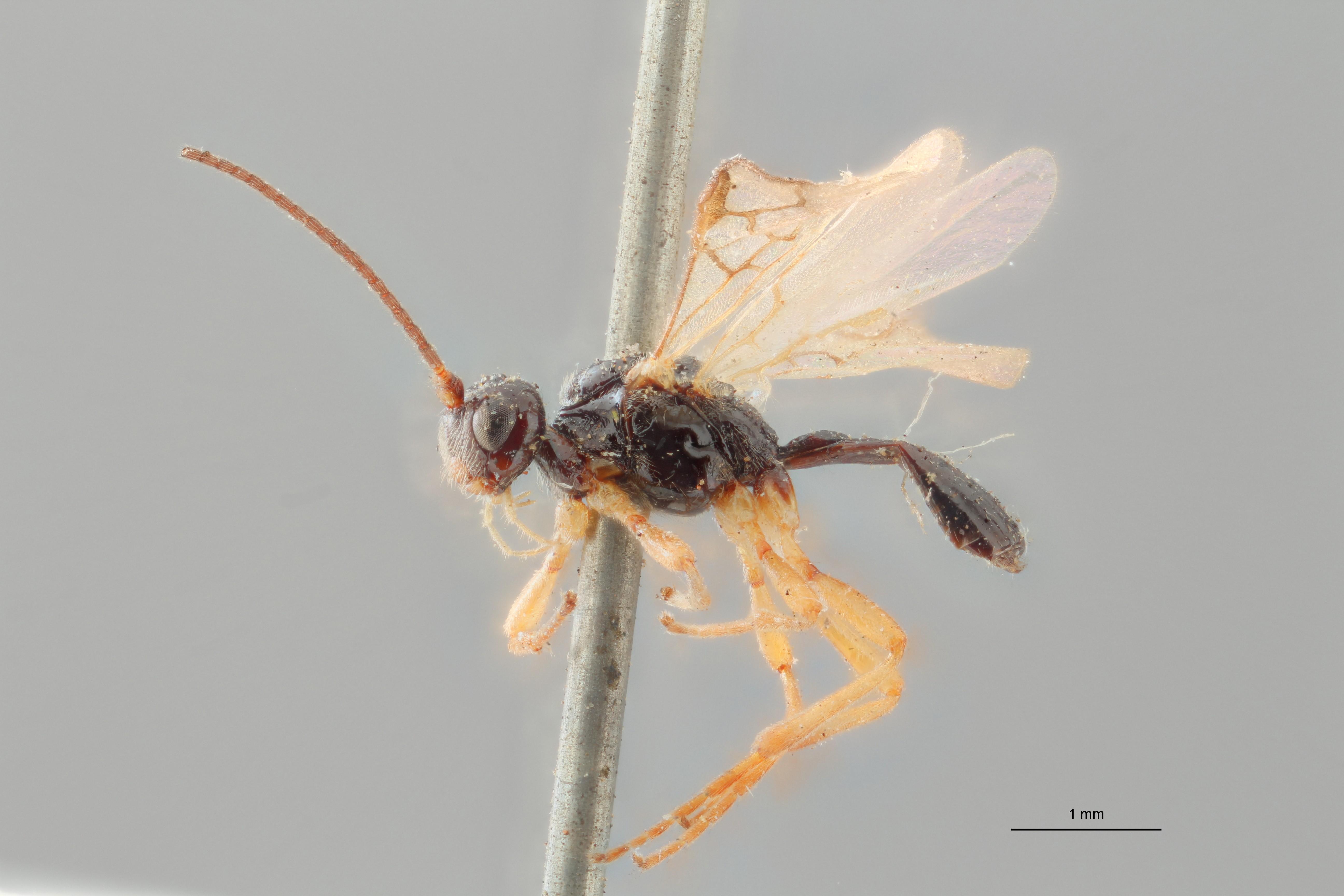Opius procerus lct L ZS PMax.jpg
