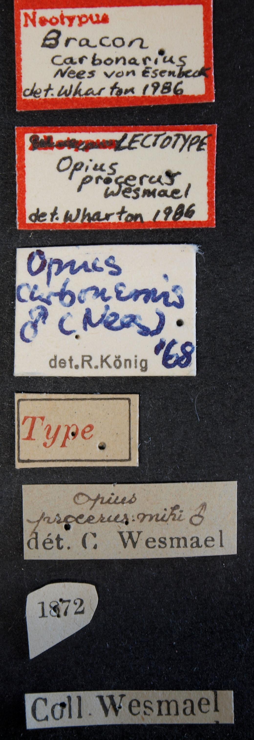 Opius procerus lct Lb.JPG