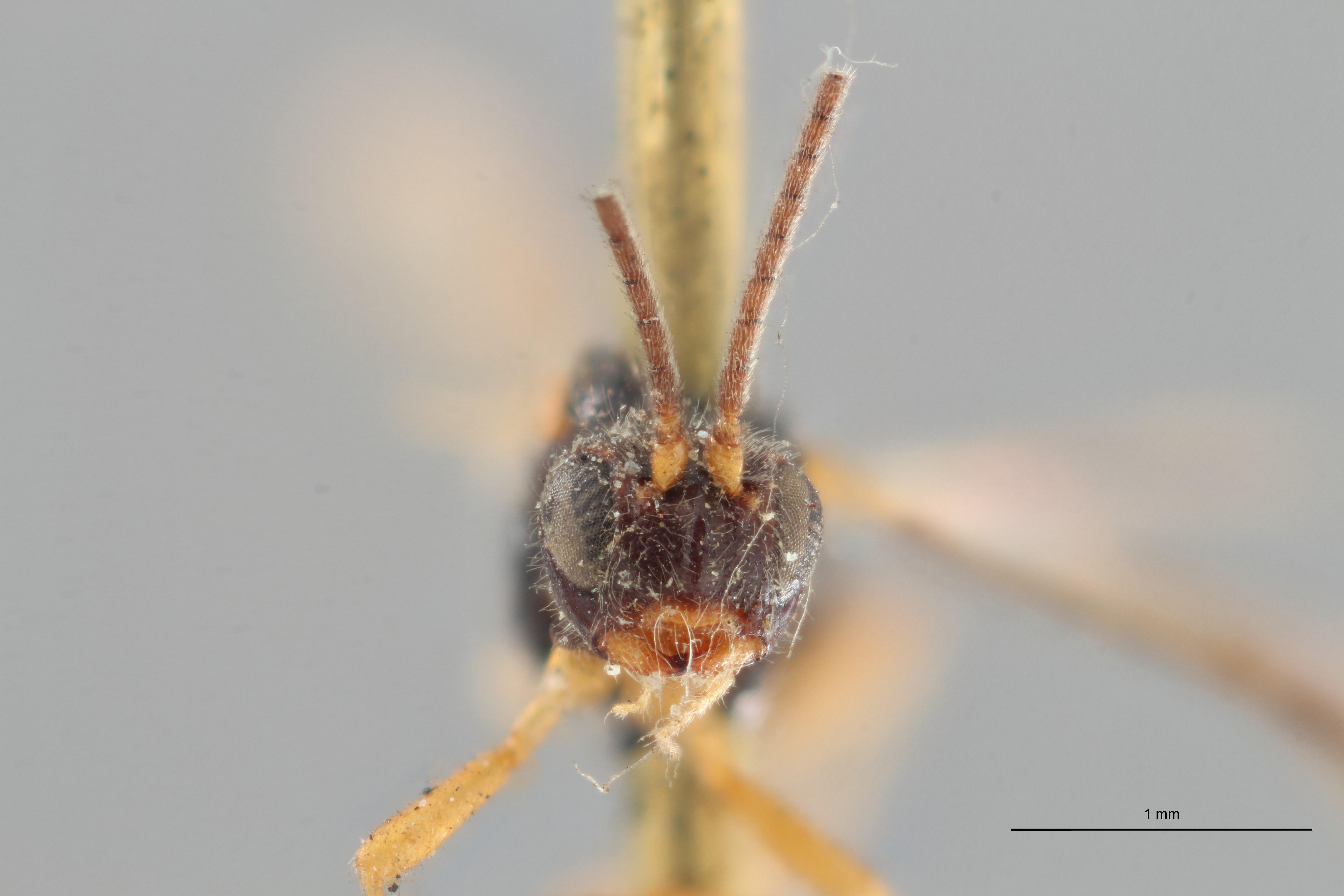 Opius truncatus plt F ZS PMax.jpg