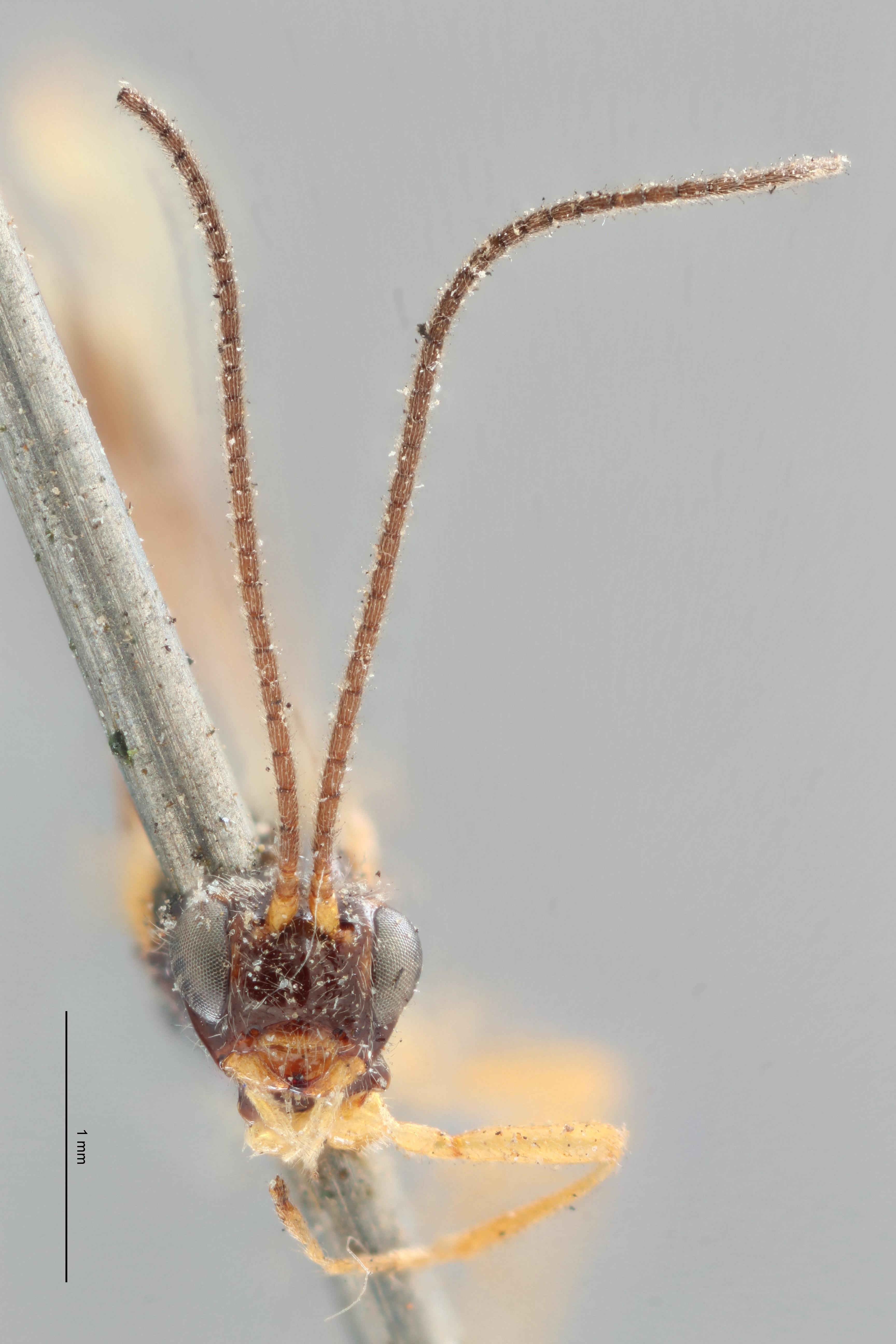 Opius truncatus lct F ZS PMax.jpg