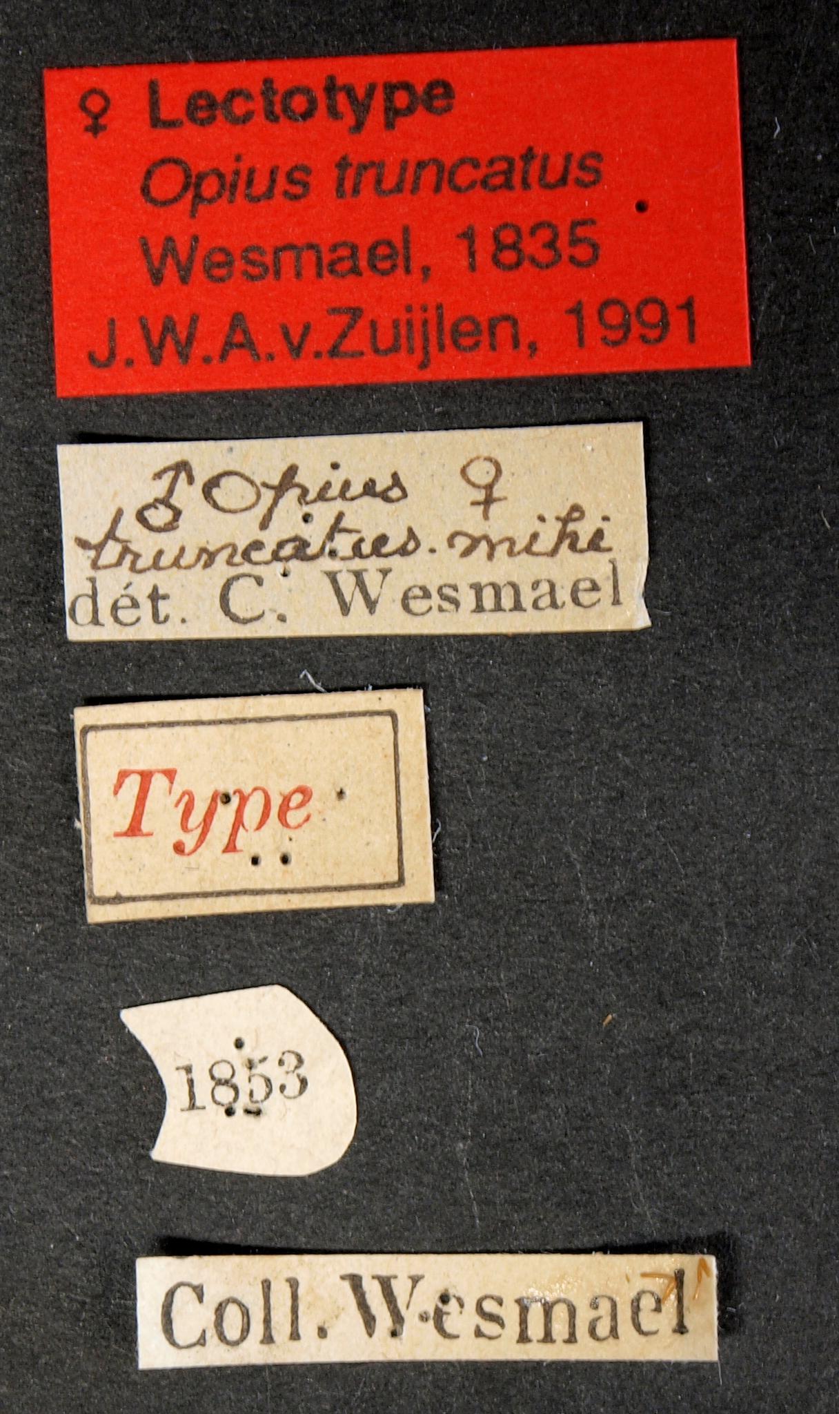 Opius truncatus lct Lb.JPG