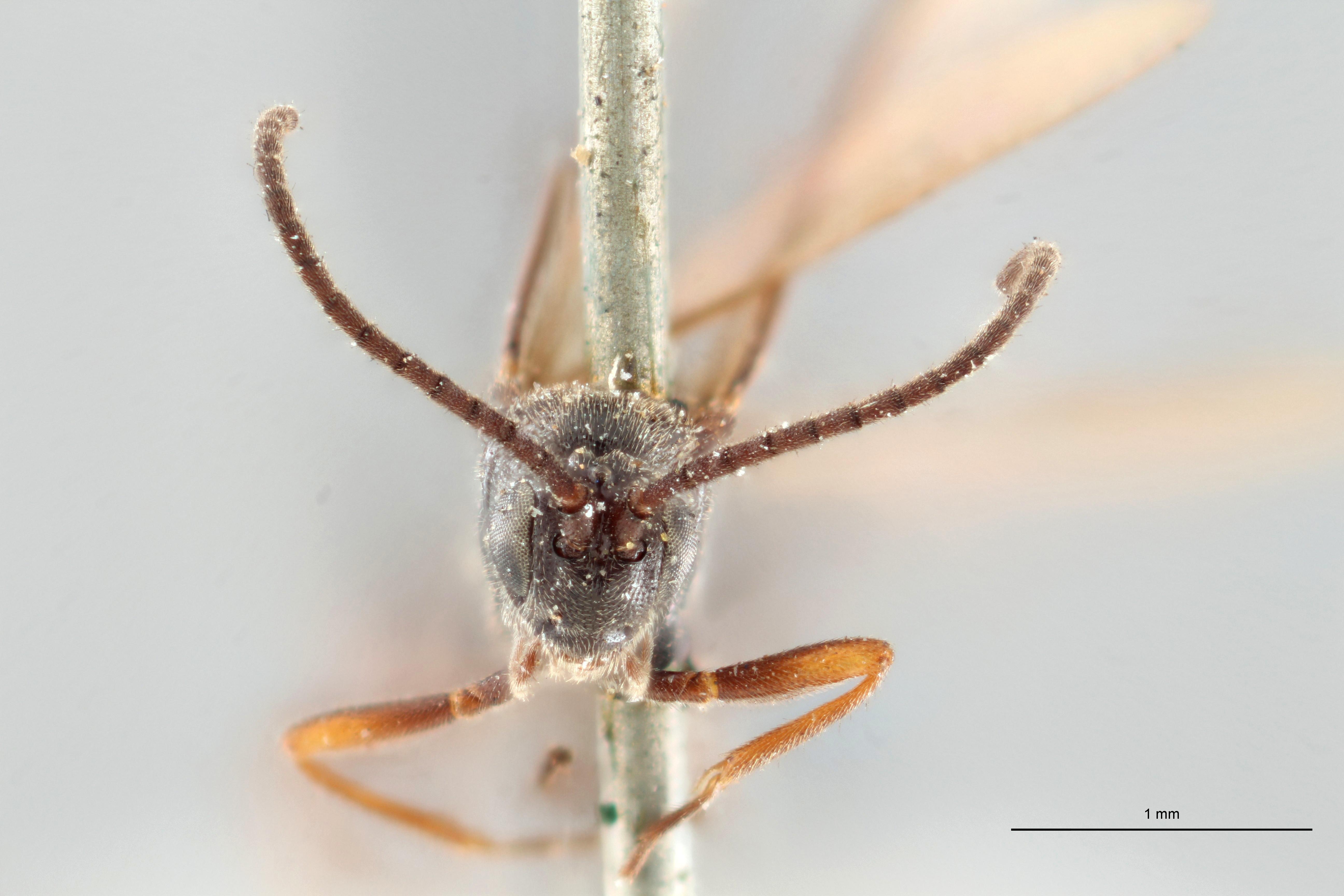 Orgilus thomsoni pt F ZS PMax.jpg