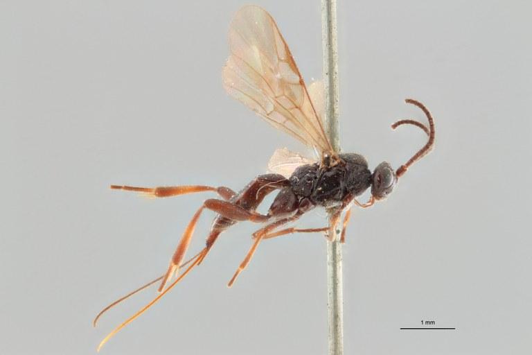 Orgilus thomsoni pt L ZS PMax.jpg