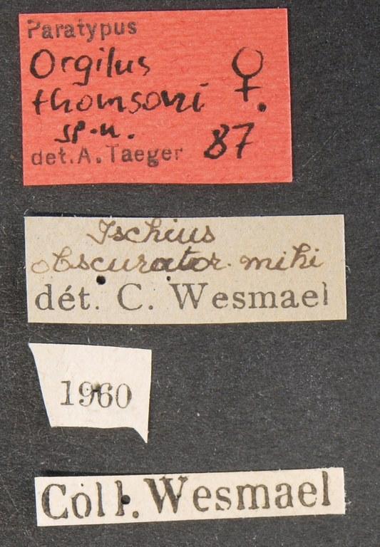Orgilus thomsoni pt Lb.JPG