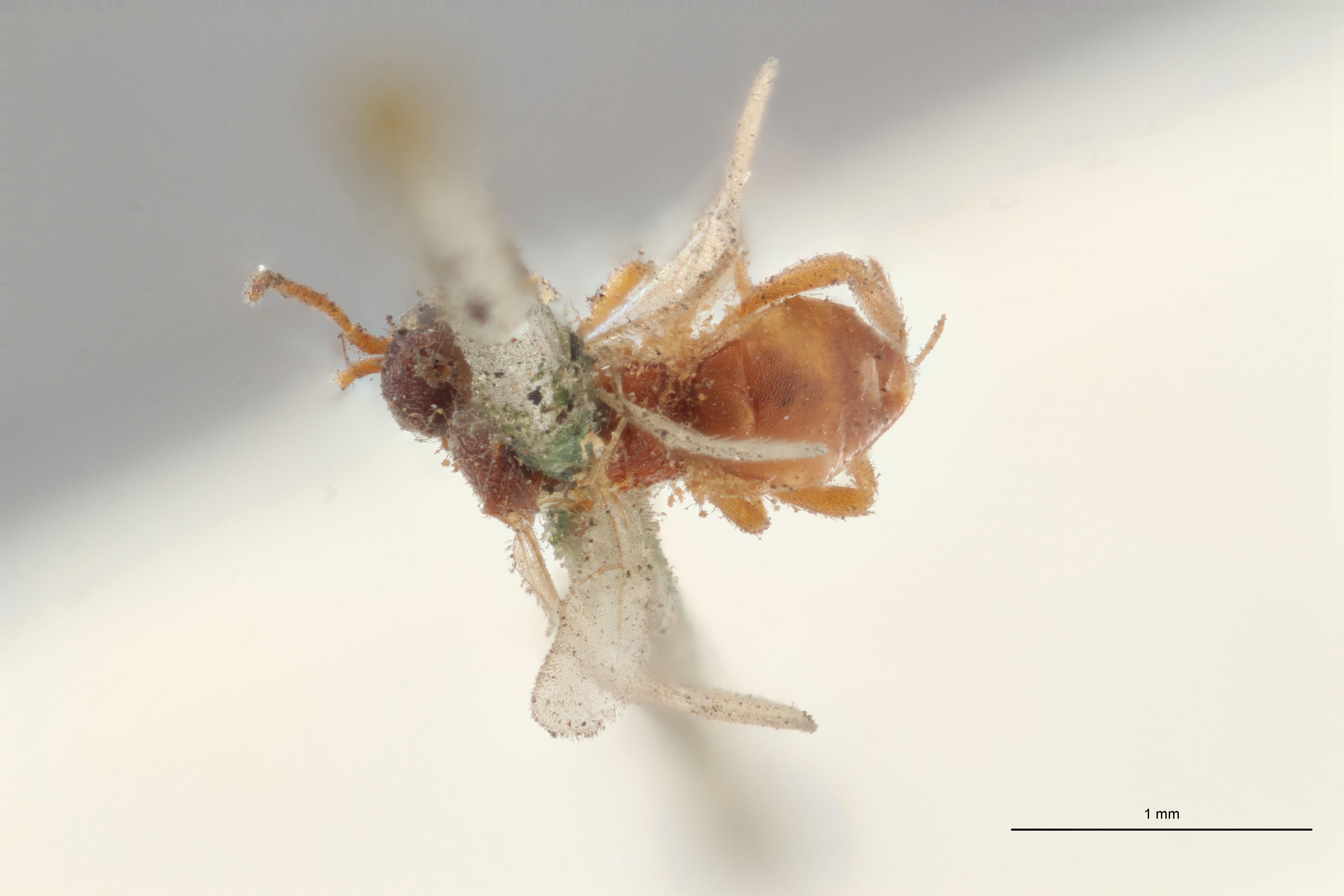 Hormius rubiginosus typ D ZS PMax Scaled.jpg