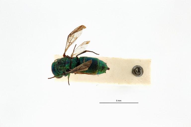 Chrysis (Trichrysis) singalensis spp. leopoldi t D.jpg
