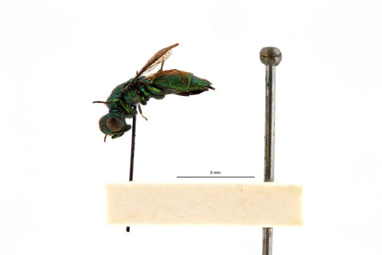Chrysis (Trichrysis) singalensis spp. leopoldi t L.jpg