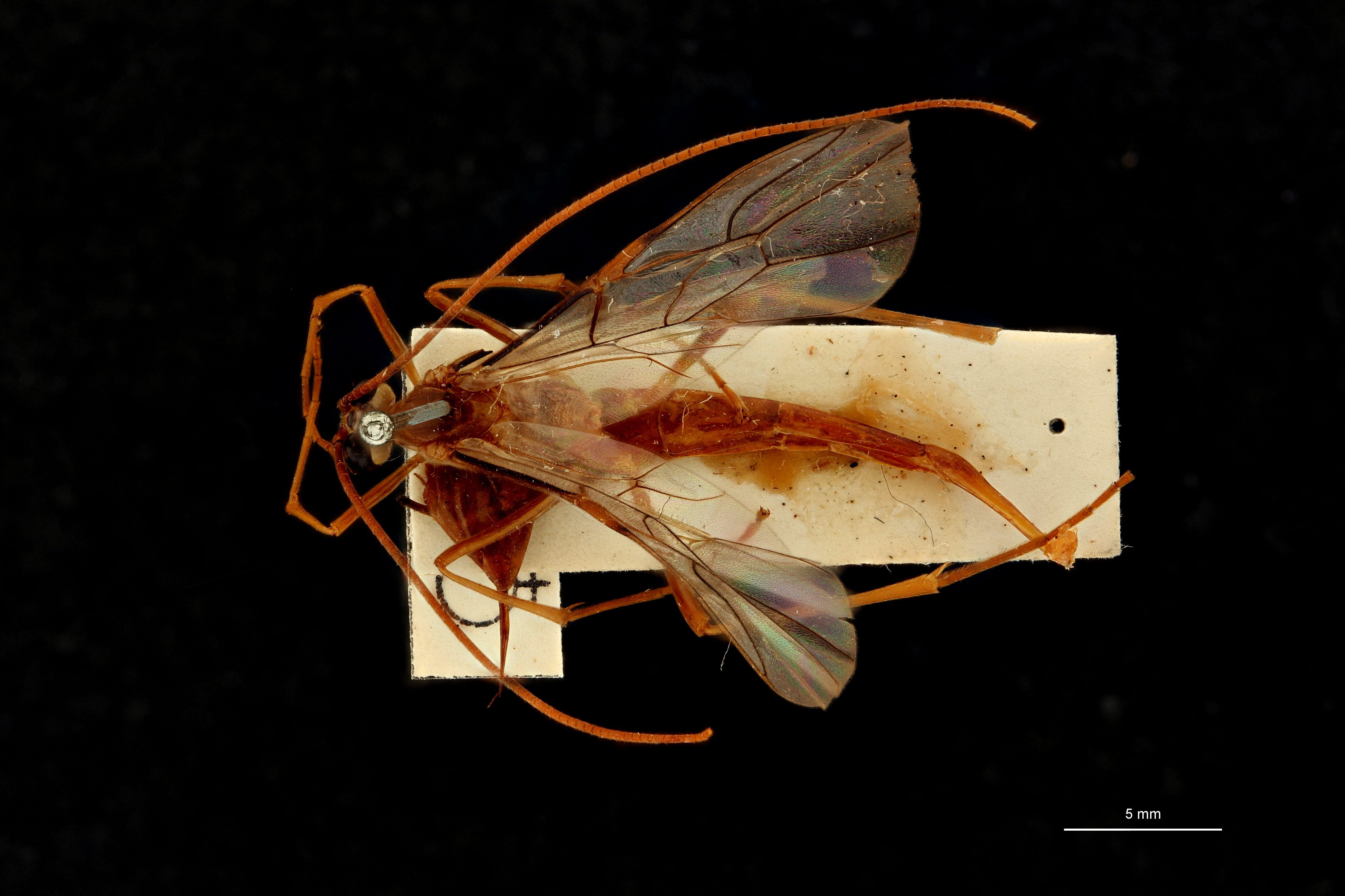Enicospilus braekeli t D.jpg
