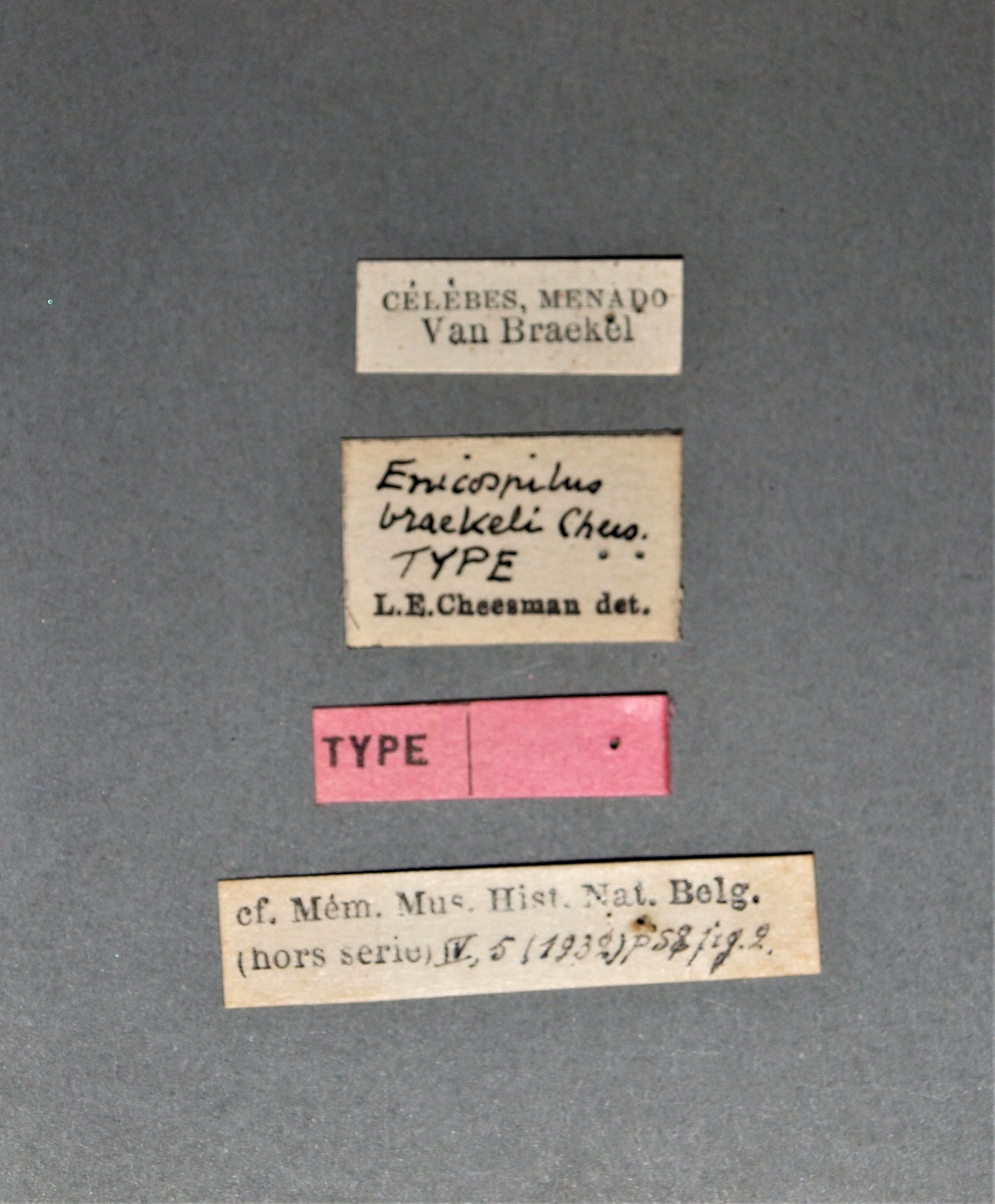Enicospilus braekeli t.JPG