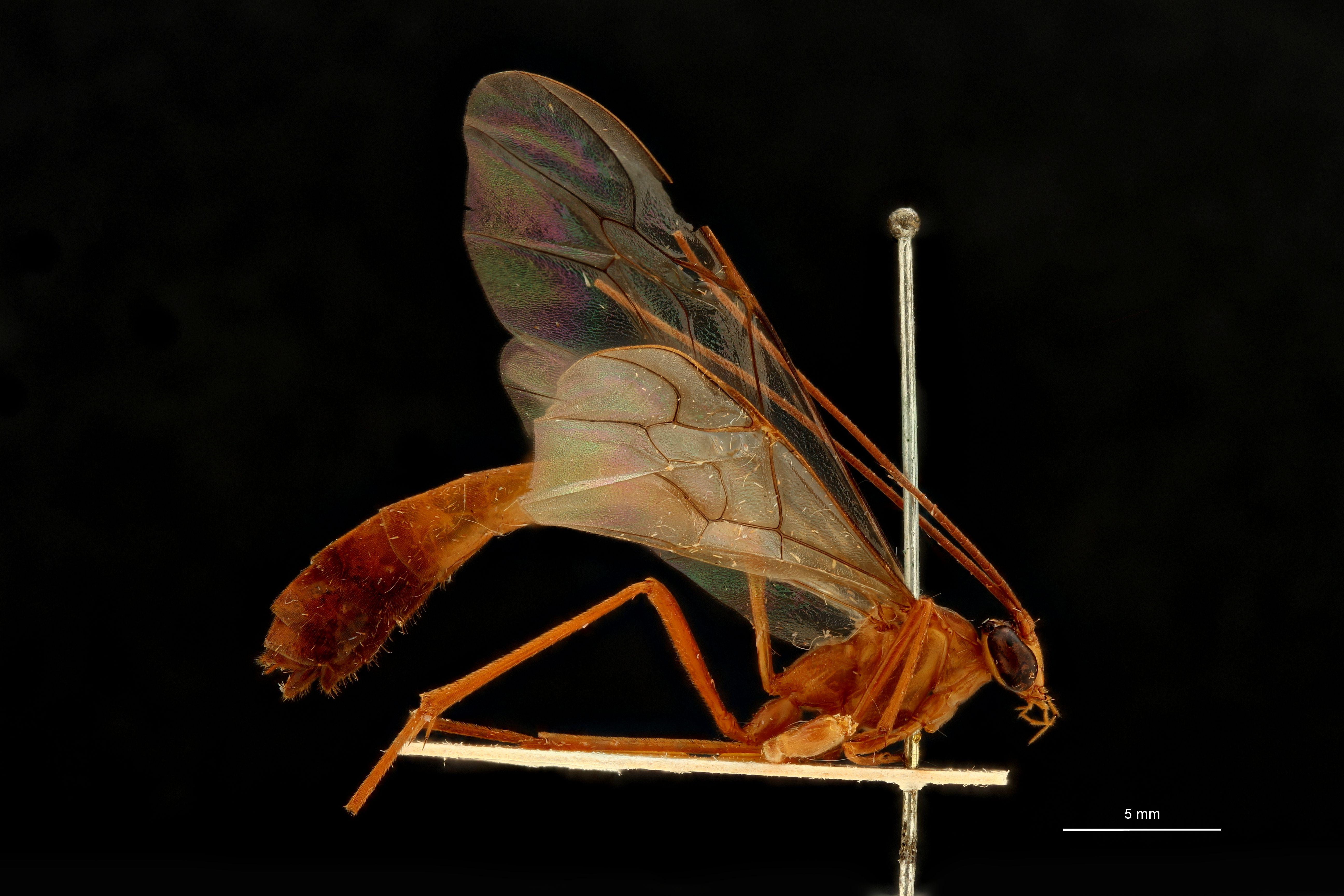 Enicospilus menadoensis t L.jpg