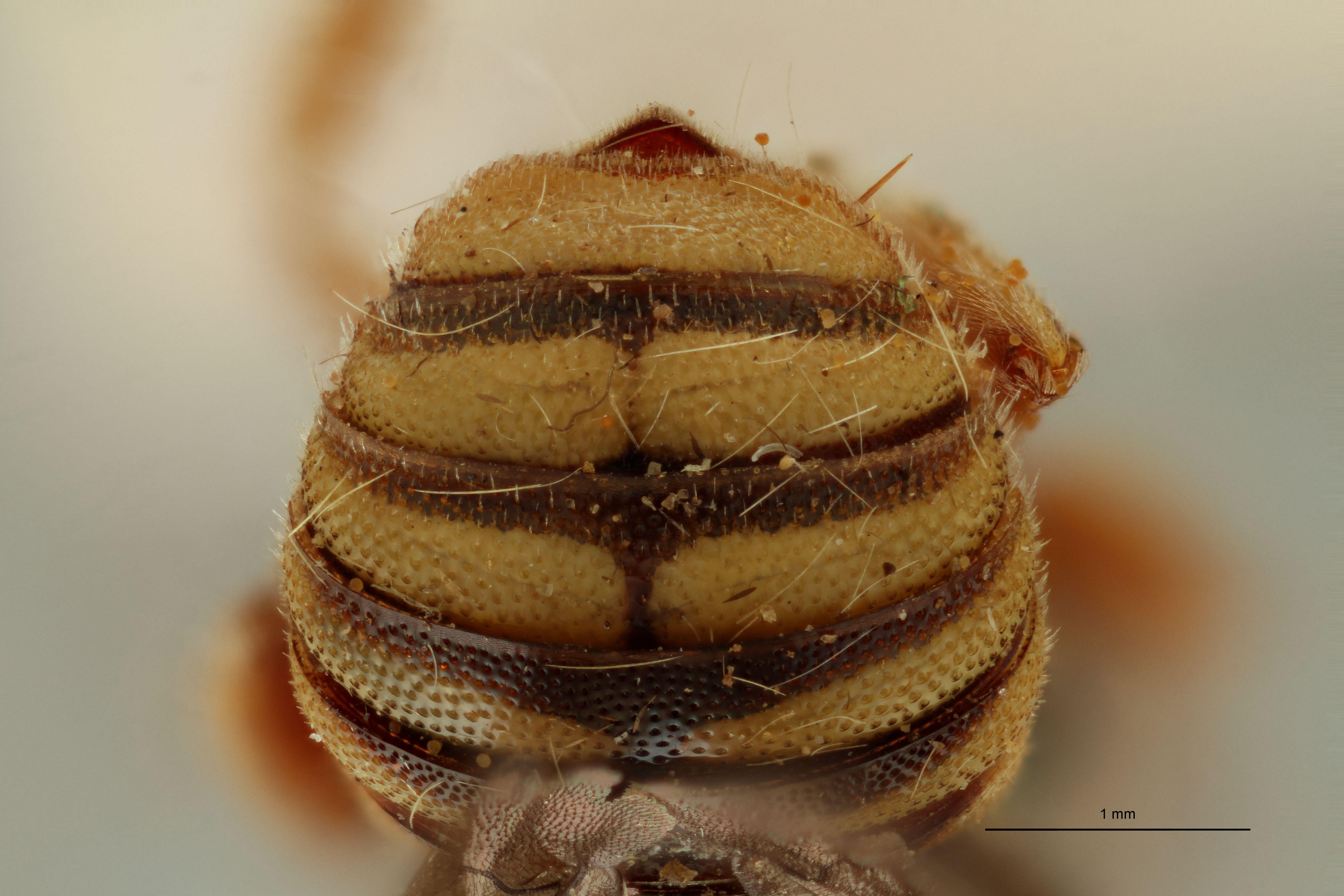 Eoanthidium arabicum pt A3.jpg
