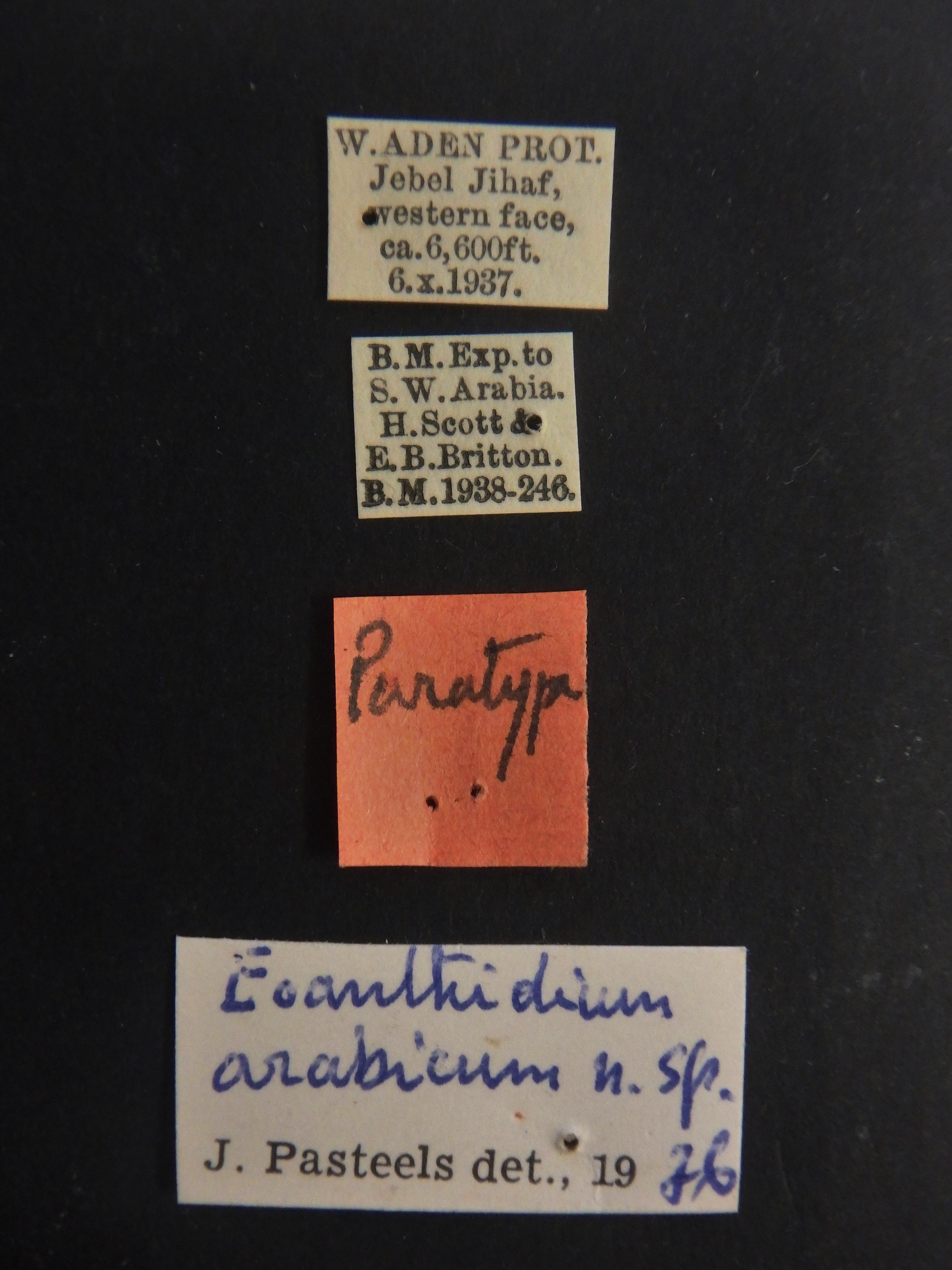 Eoanthidium arabicum pt Labels.JPG