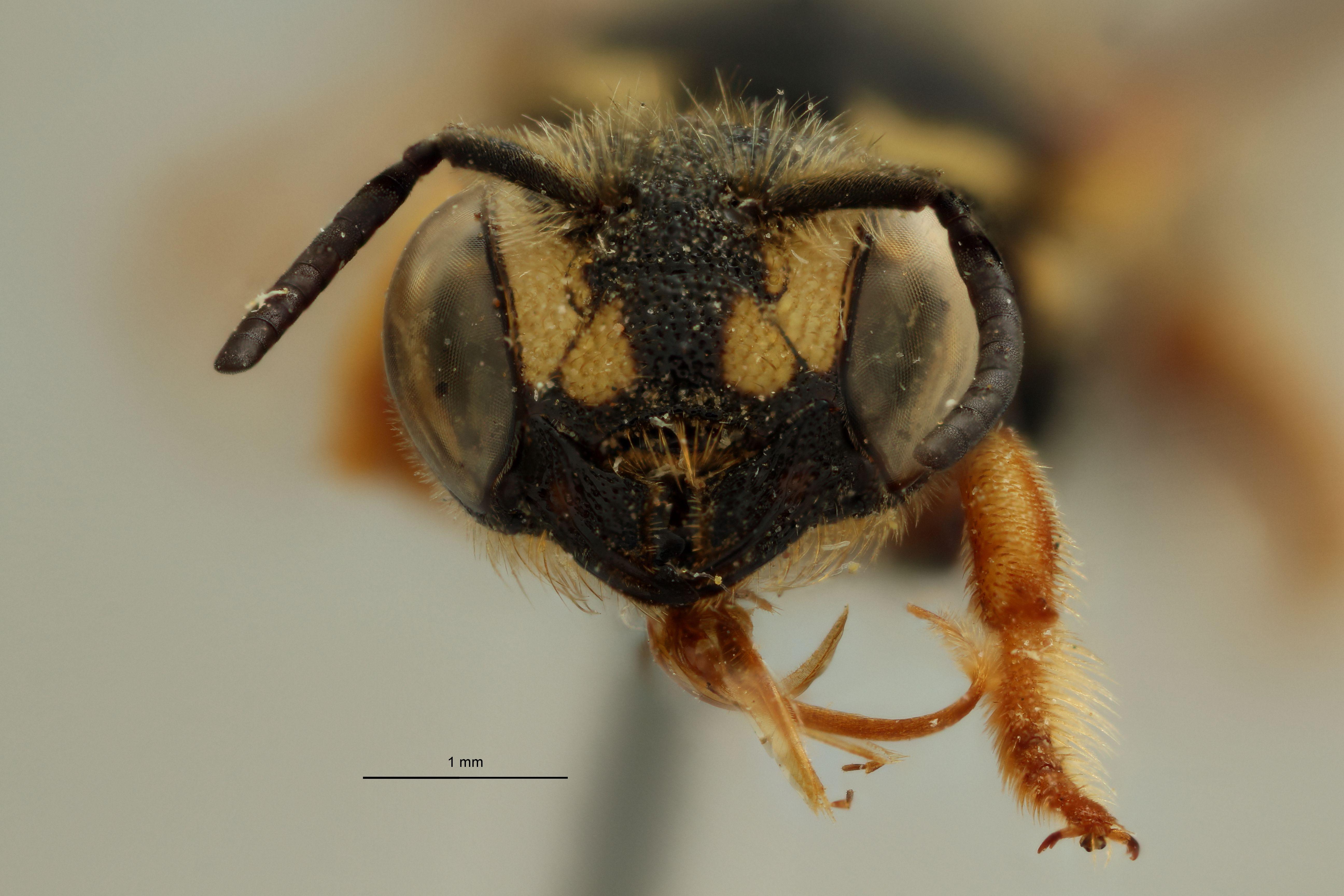 Eoanthidium (Eoanthidiellum) anale t F.jpg