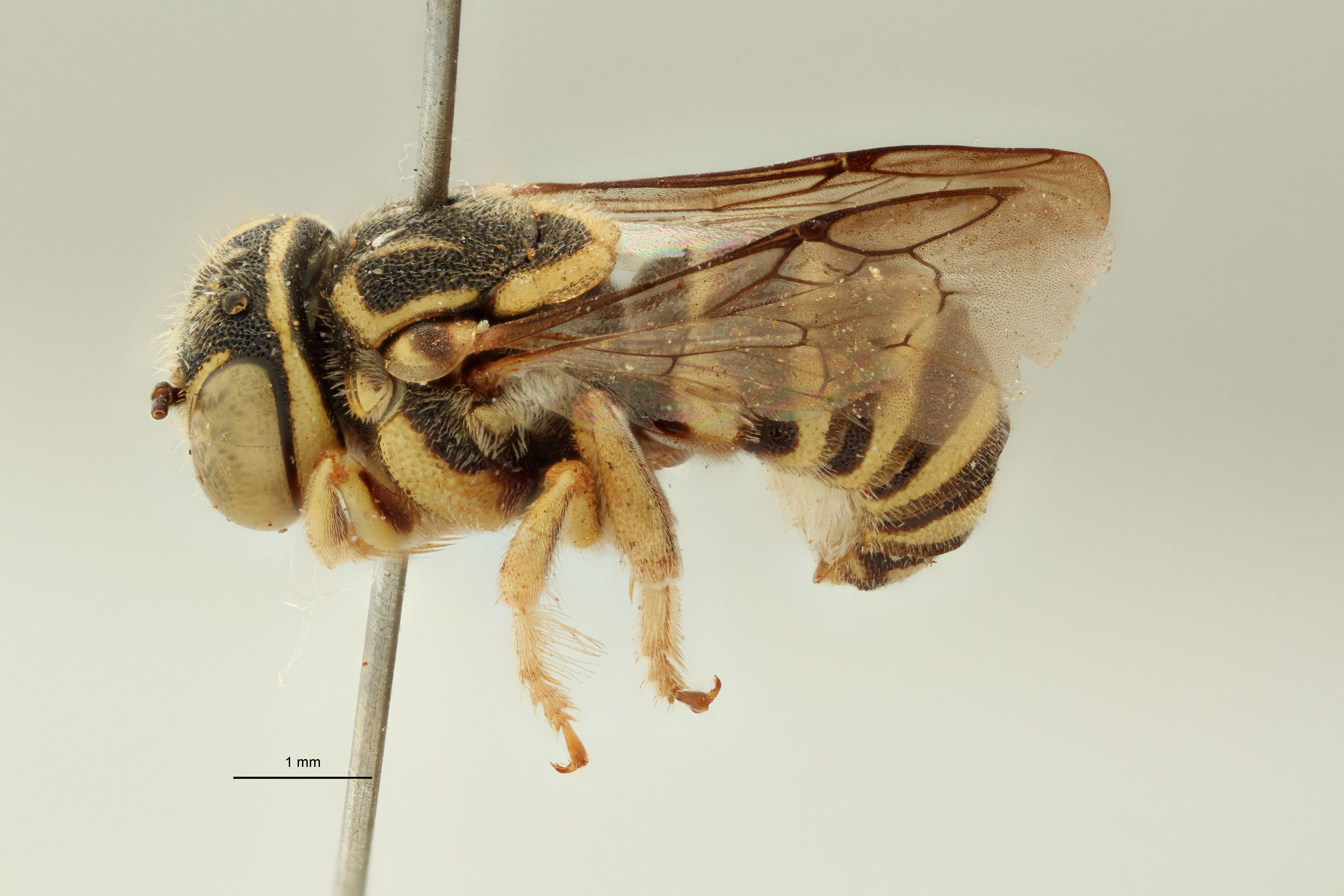 Eoanthidium semicarinatum pt L.jpg