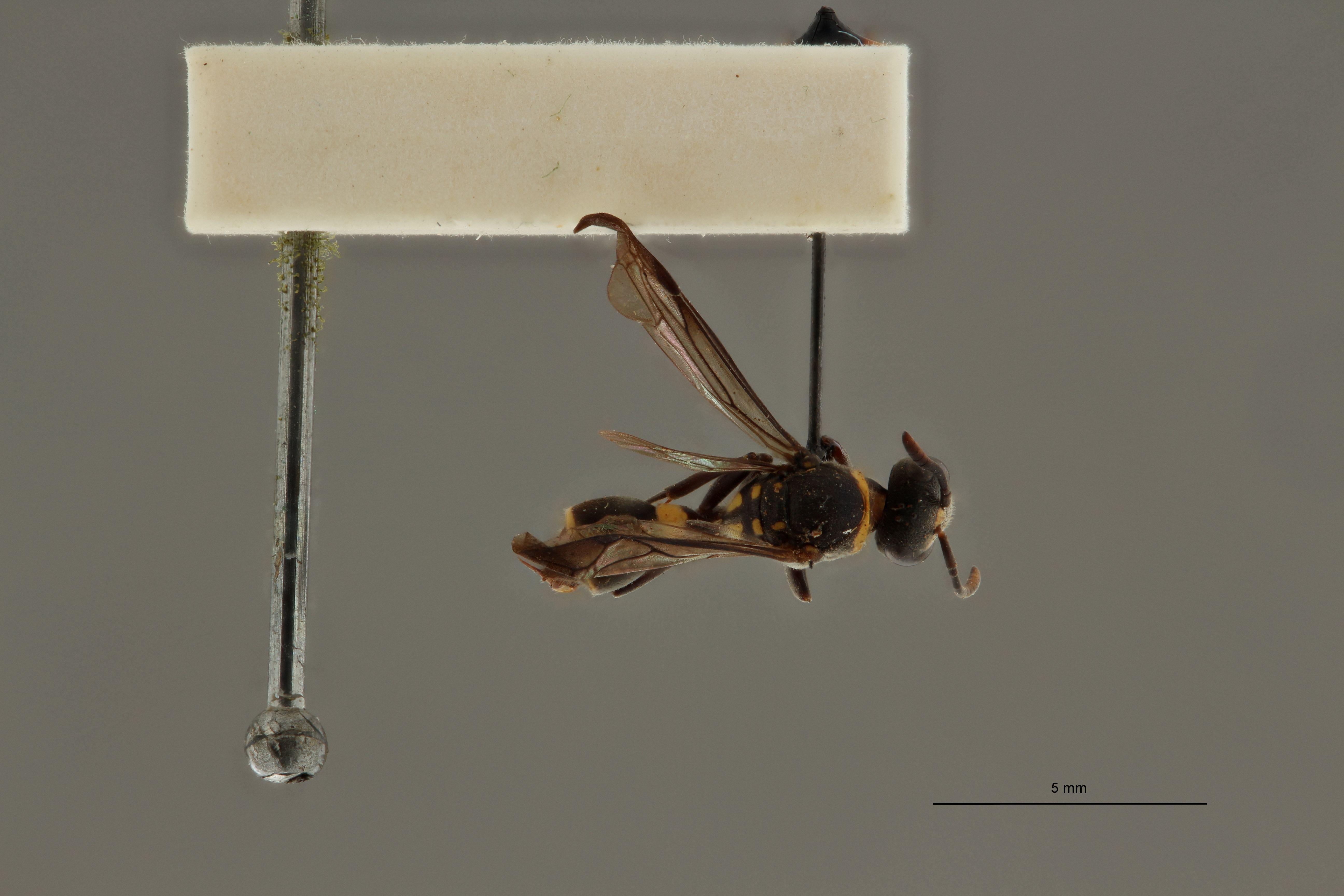 Ropalidia leopoldi pt D.jpg