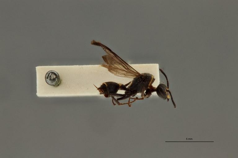 Ropalidia leopoldi pt L.jpg
