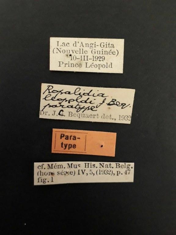 Ropalidia leopoldi pt.jpg