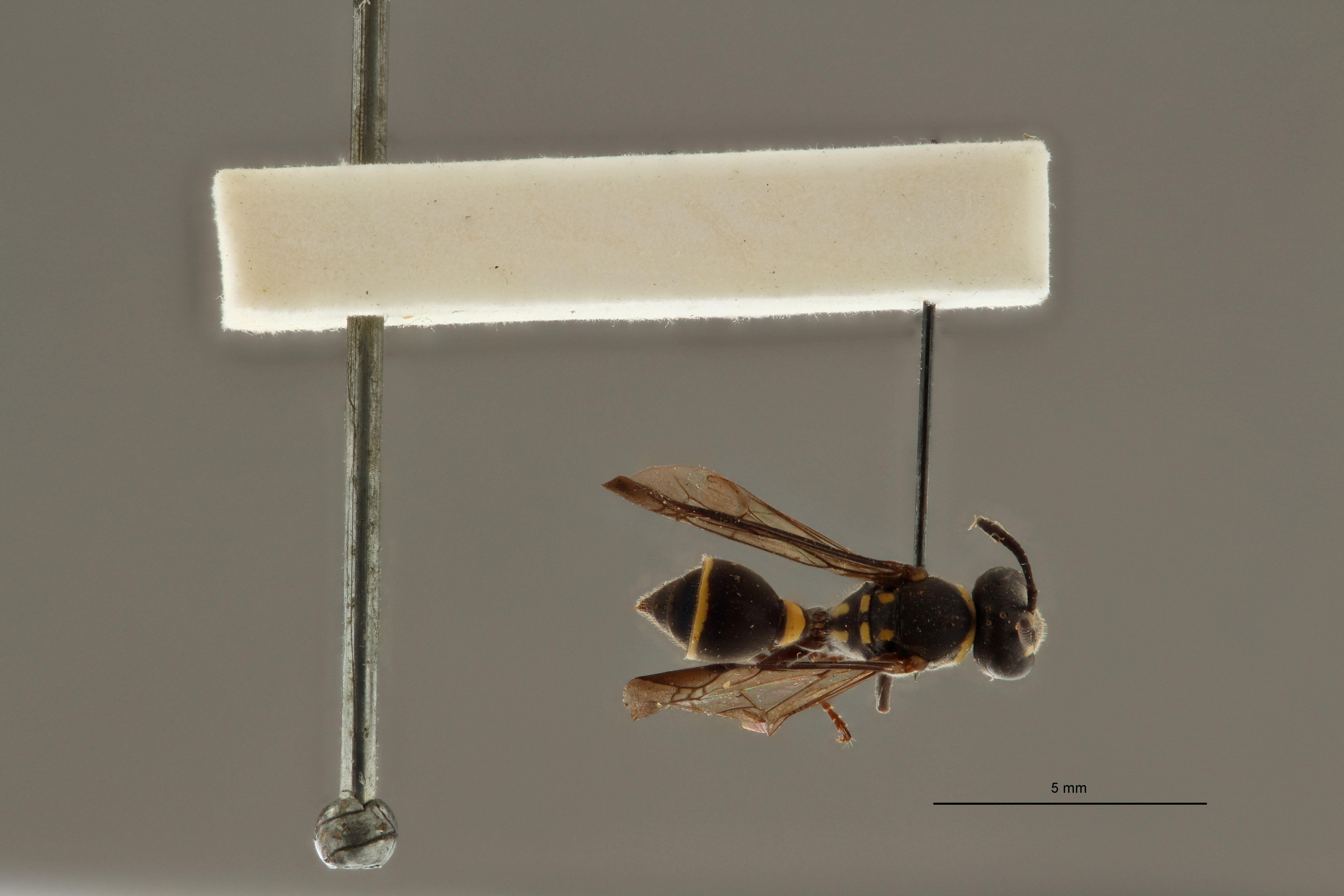Ropalidia leopoldi ht D.jpg