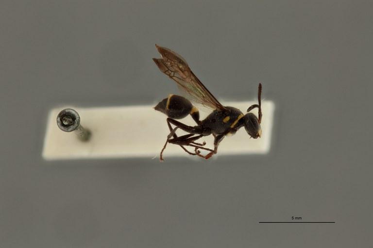 Ropalidia leopoldi ht L.jpg