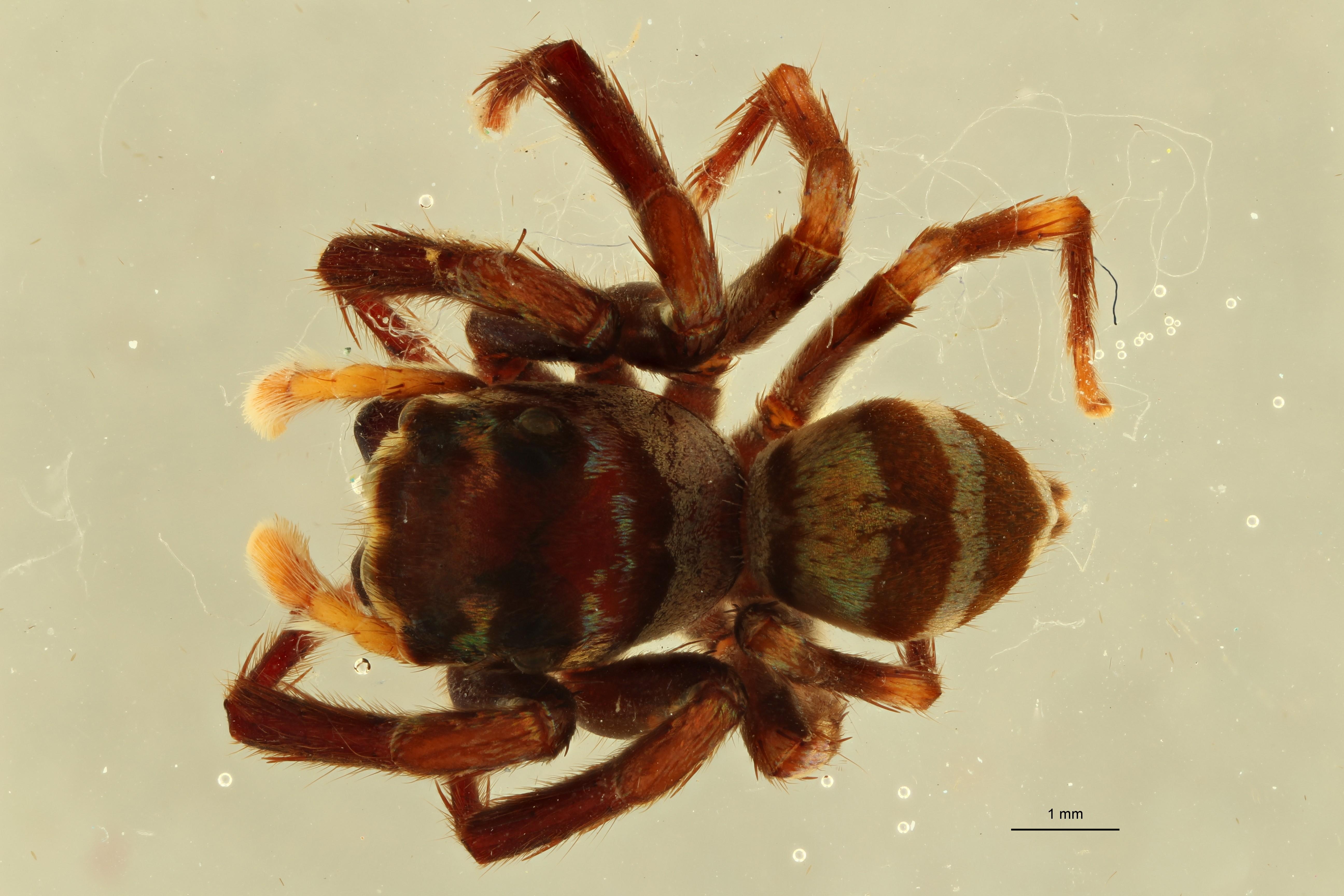 Plotius leopoldi pt M D ZS PMax.jpg Scaled.jpeg