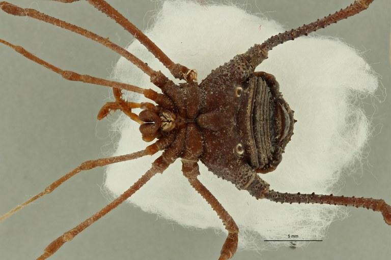 Neomitobates maximus ht V ZS PMax Scaled.jpeg