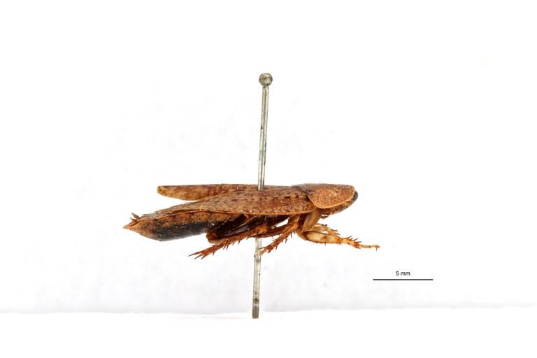 Stictolampra brevipennis ht L.jpg