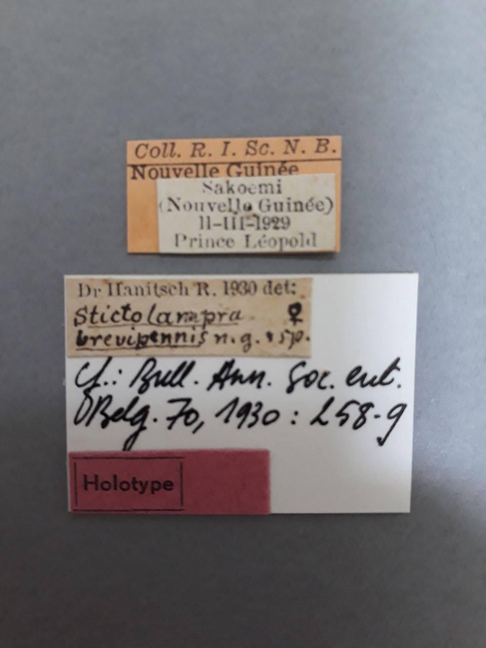 Stictolampra brevipennis ht.jpg