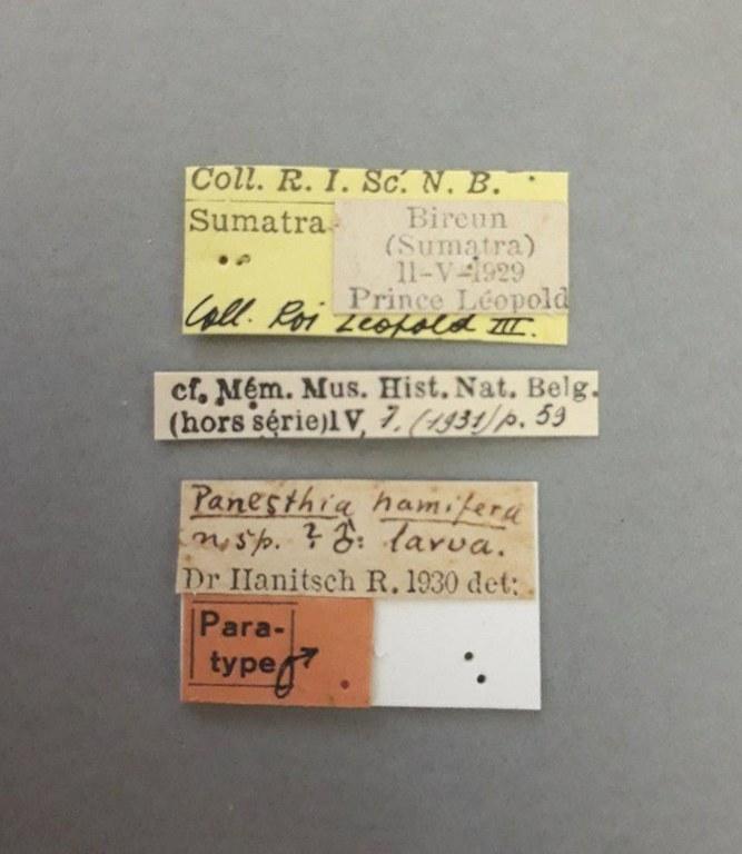 Panesthia hamifera pt male.jpg
