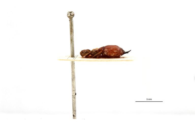 Macrotermes gilvus borneensis pt L.jpg