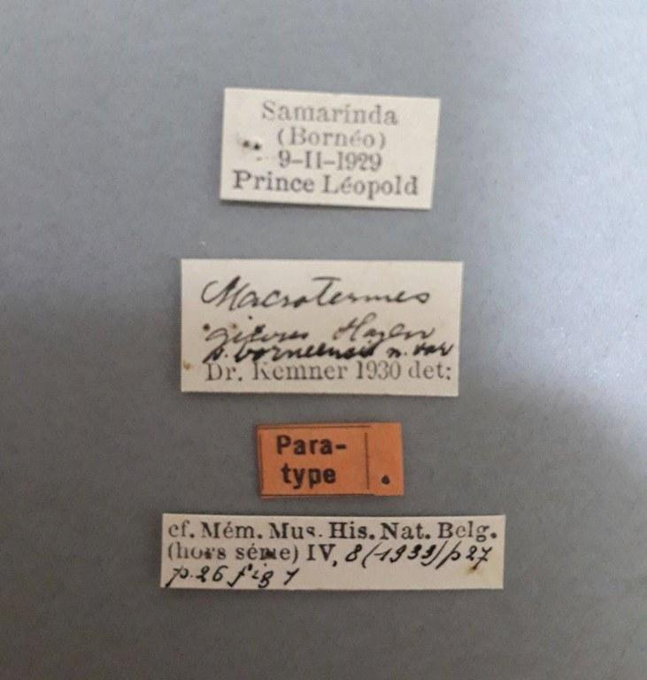 Macrotermes gilvus borneensis pt.jpg