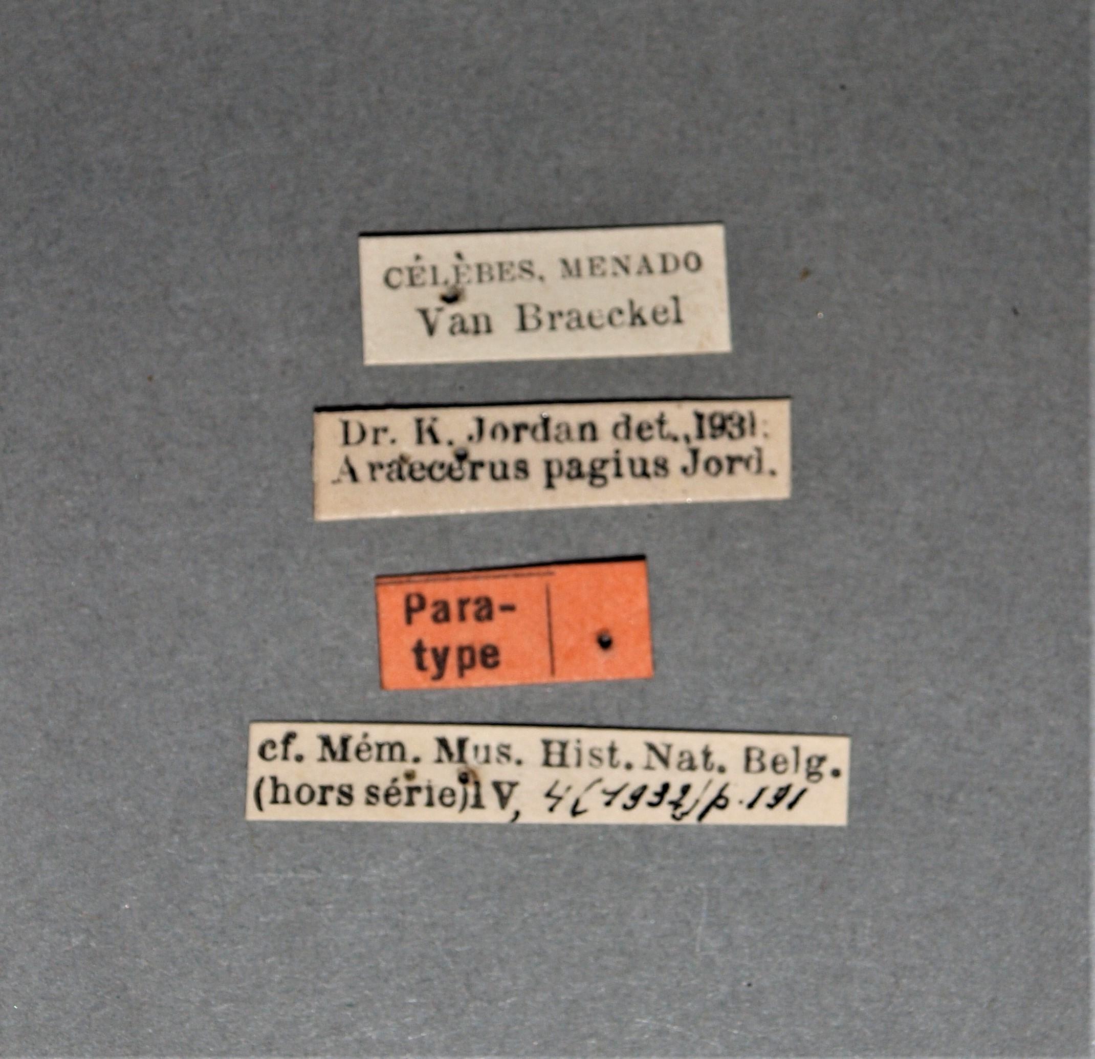 Araecerus pagius pt.JPG